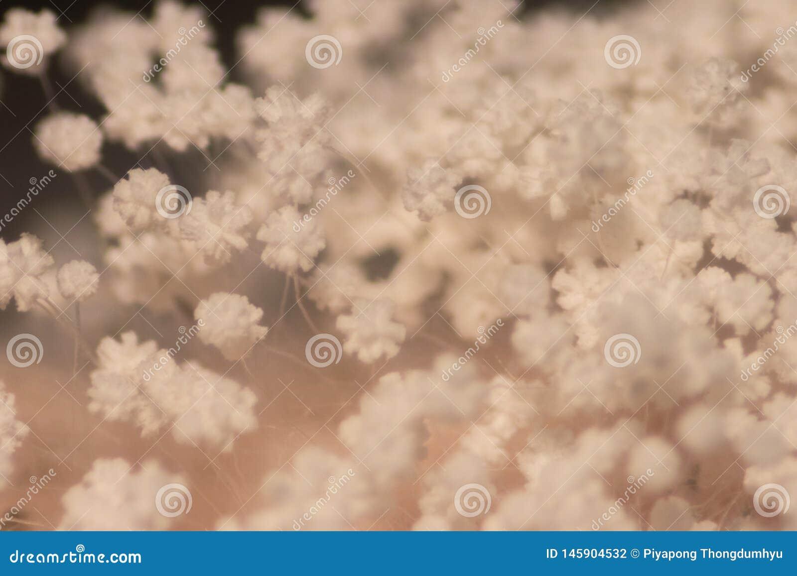 Caract?ristiques de colonie de moule sous le microscope