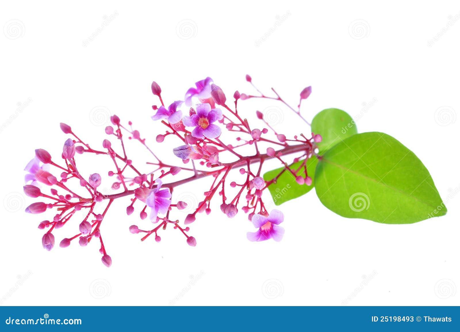 Carambola Flower Stock Image Image Of Sweet Refreshment 25198493