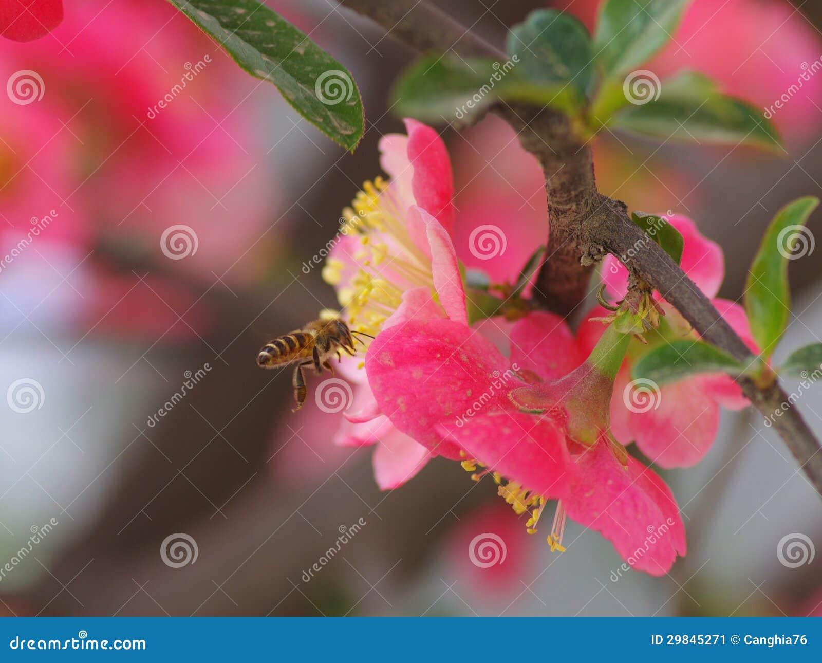 Caranguejo-Apple de florescência chinês e as abelhas