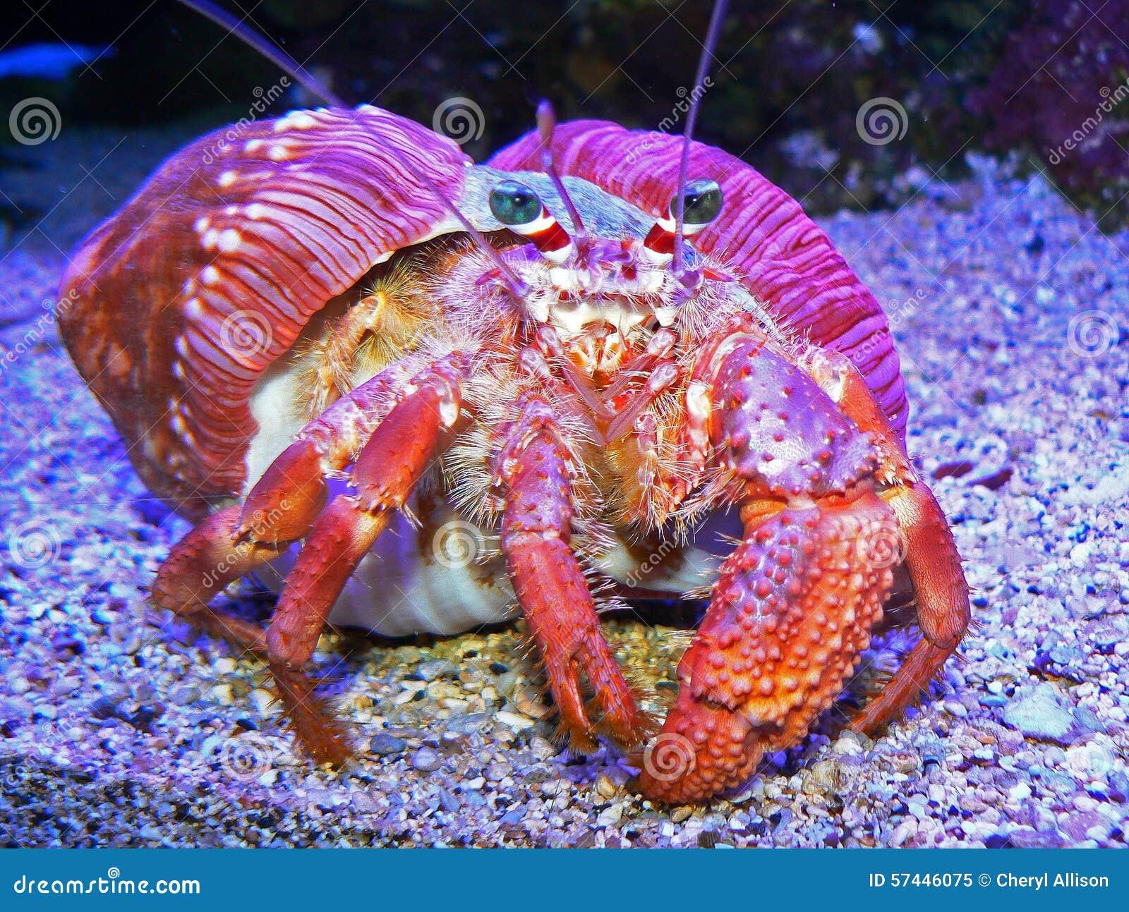 Caranguejo colorido