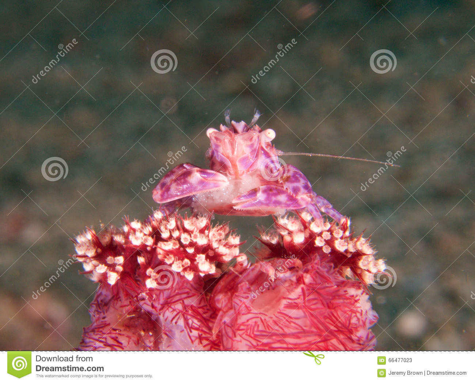 Caranguejo coral macio com ovos, Raja Ampat da porcelana, Indonésia