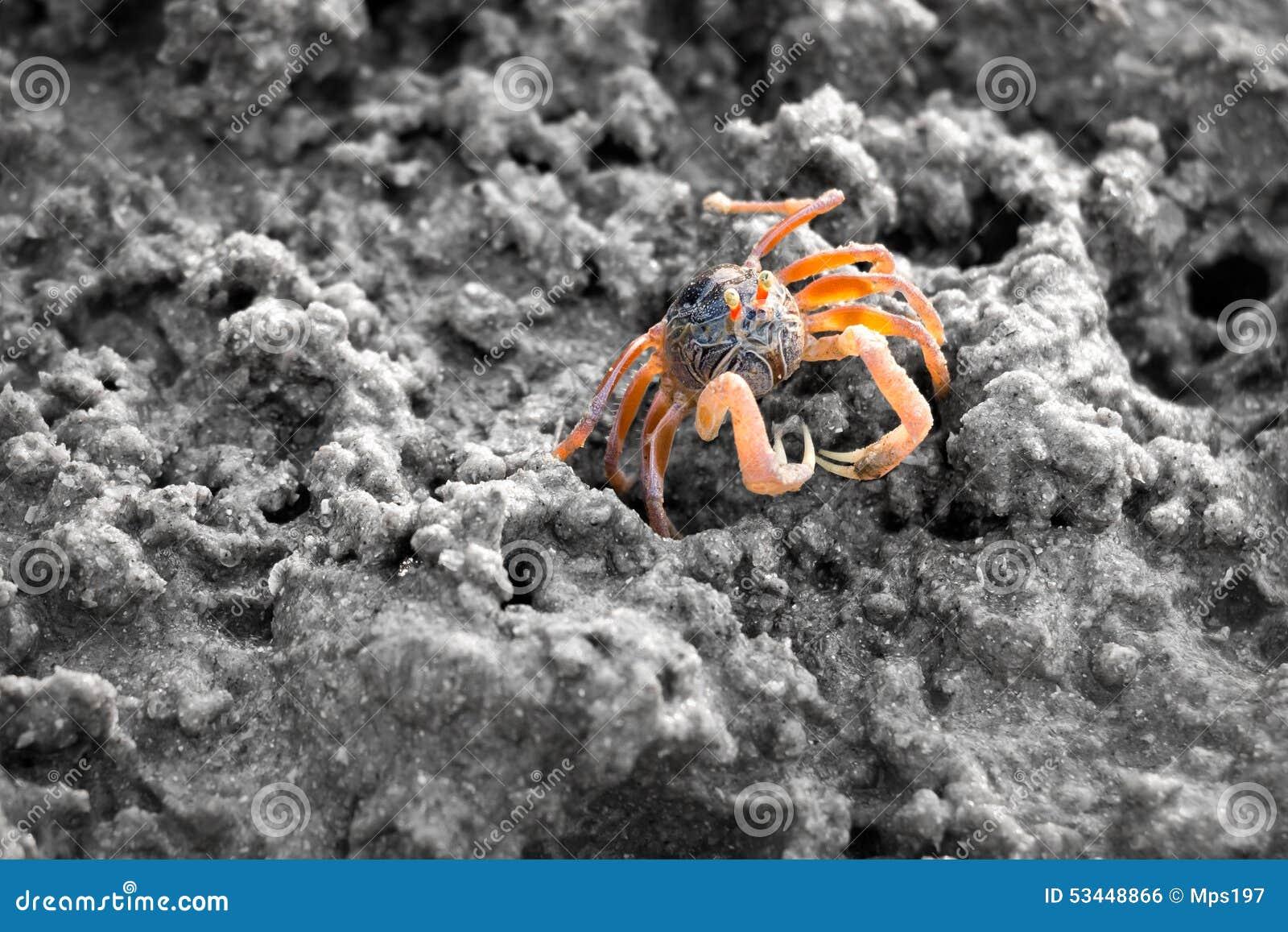 Caranguejo do bebedoiro automático da areia na areia durante a maré baixa