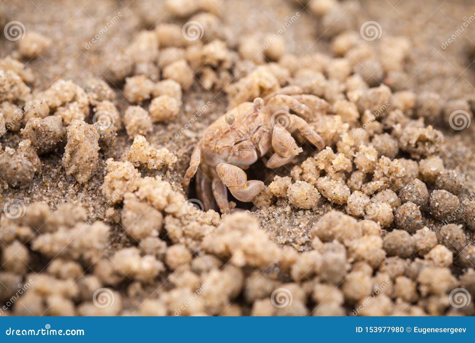 Caranguejo do bebedoiro autom?tico da areia ou areia-bebedoiro autom?tico, macro