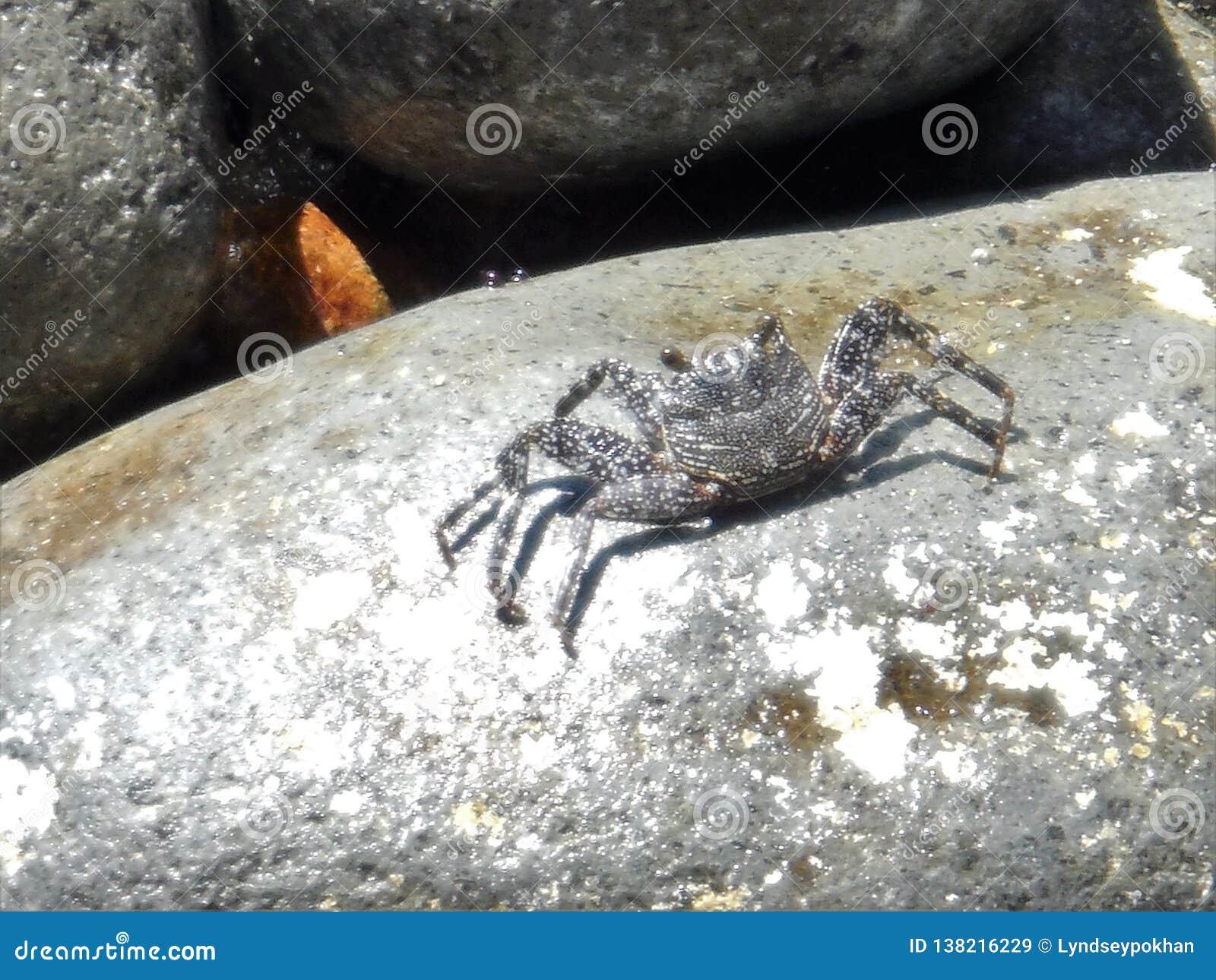 Caranguejo em uma rocha em Domínica