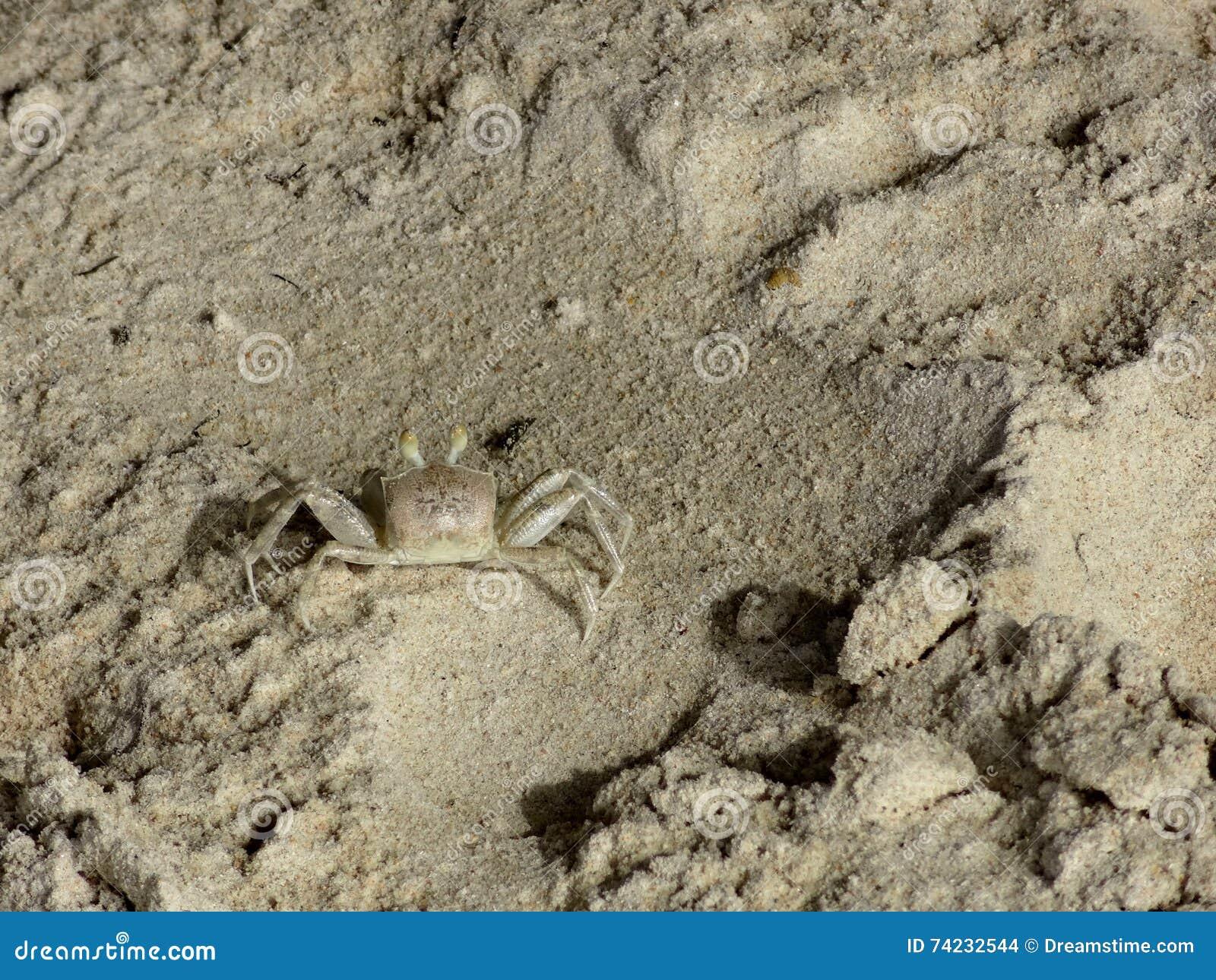 Caranguejo pequeno