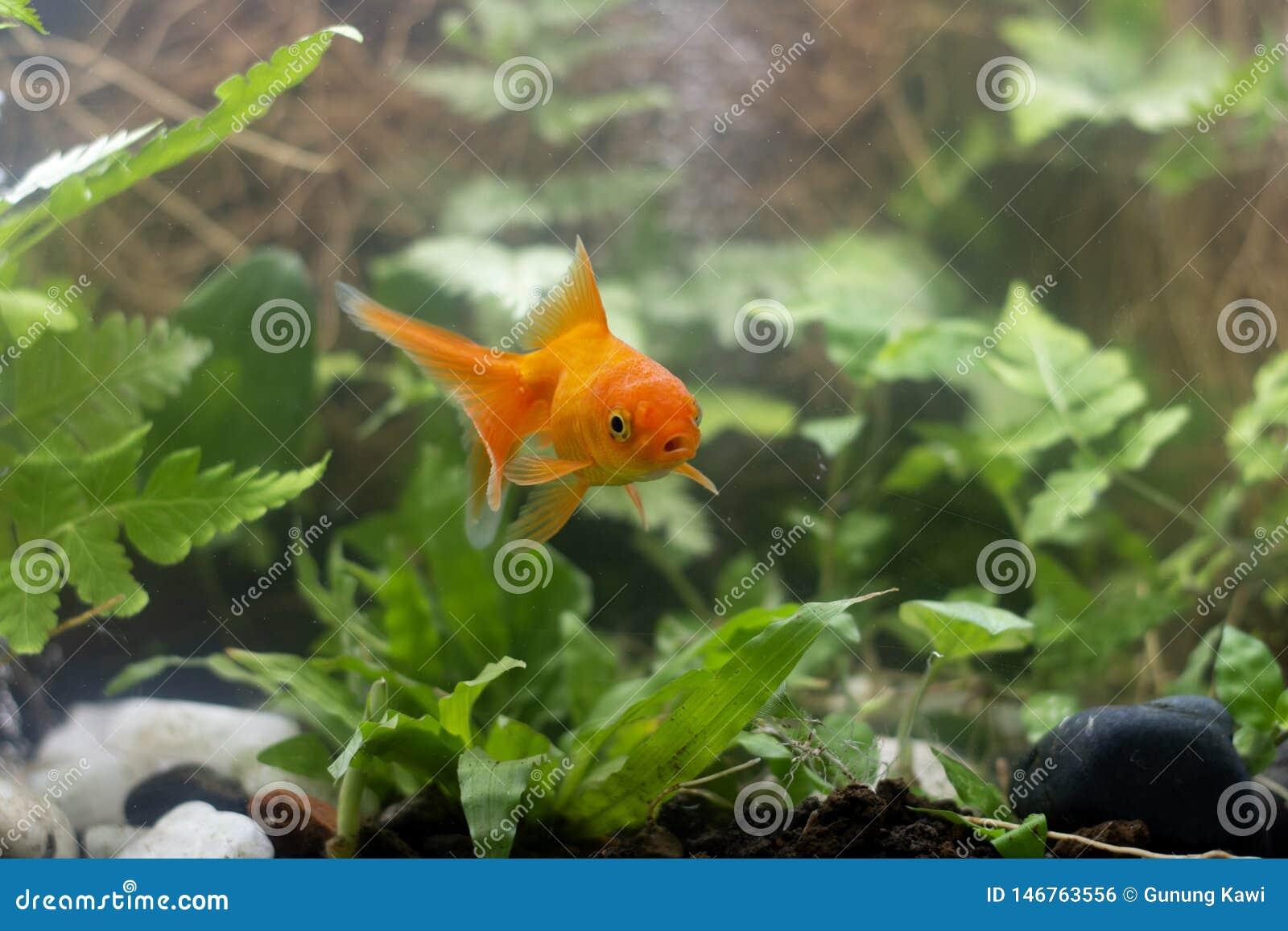 Carassius auratus Goldfisch hinter einer Wasserpflanze