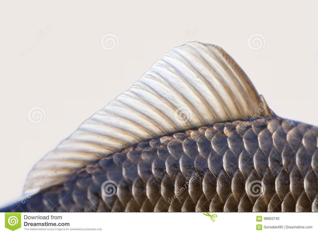 Carassius fish fin, skin scales textured photo. Macro view Crucian carp scaly pattern. Selective focus, shallow depth