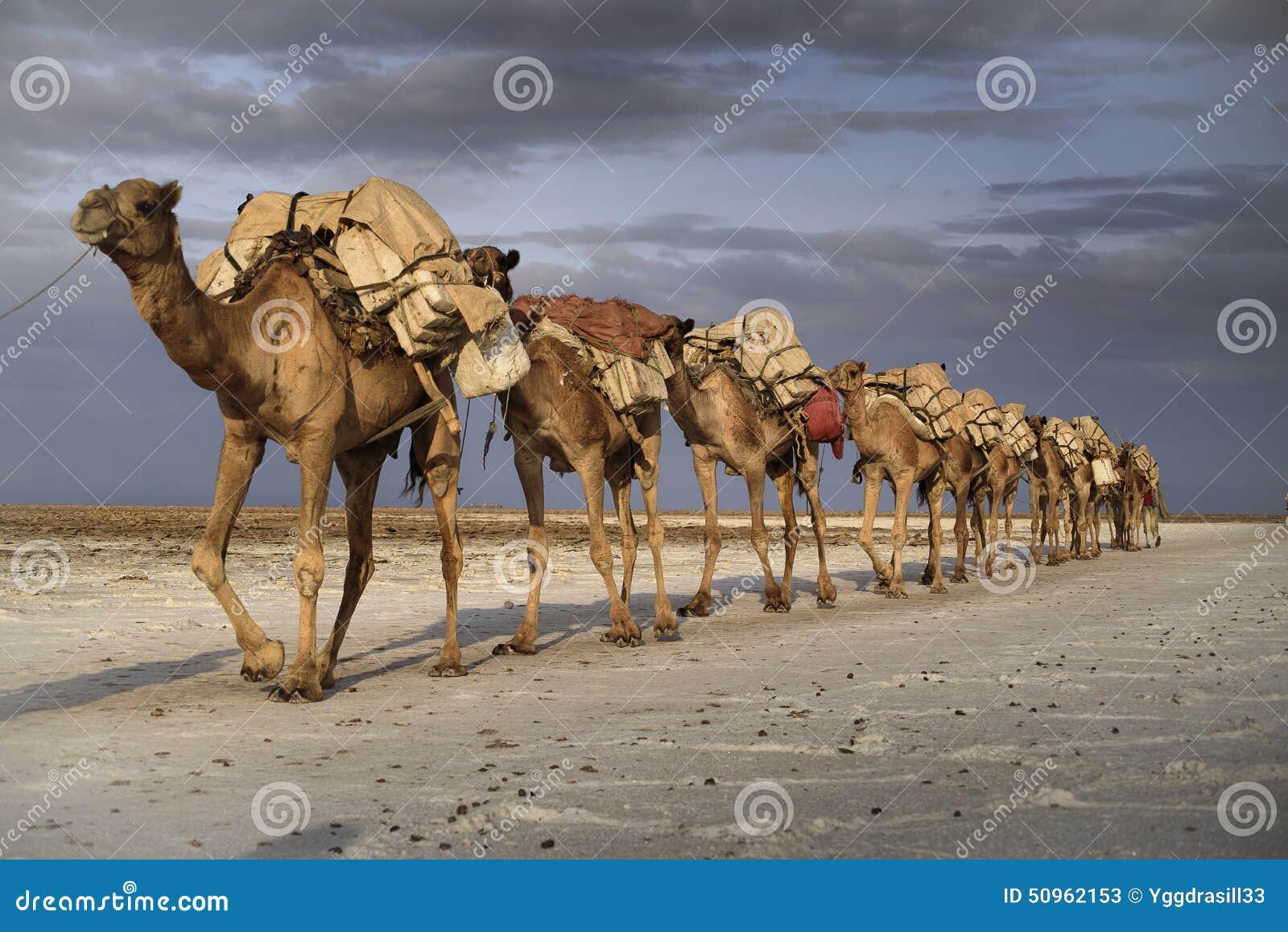 Caravana do camelo no lago Karoum