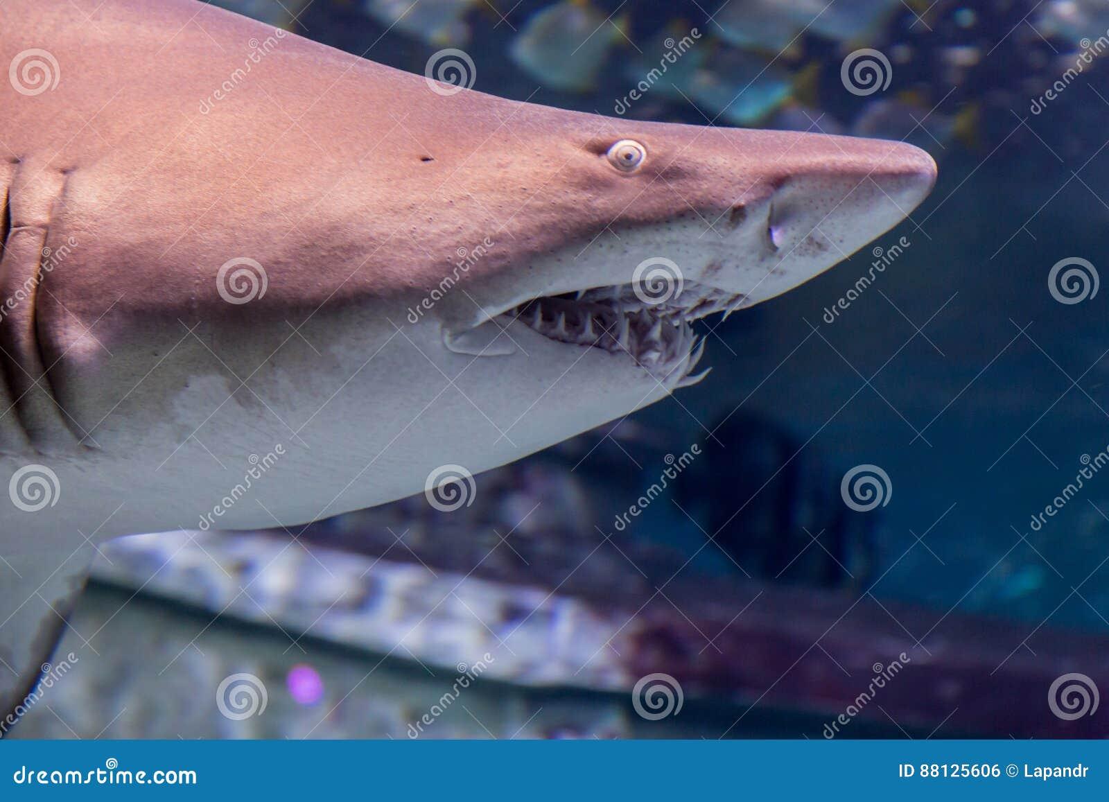 Carcharias taurus dello squalo tigre della sabbia