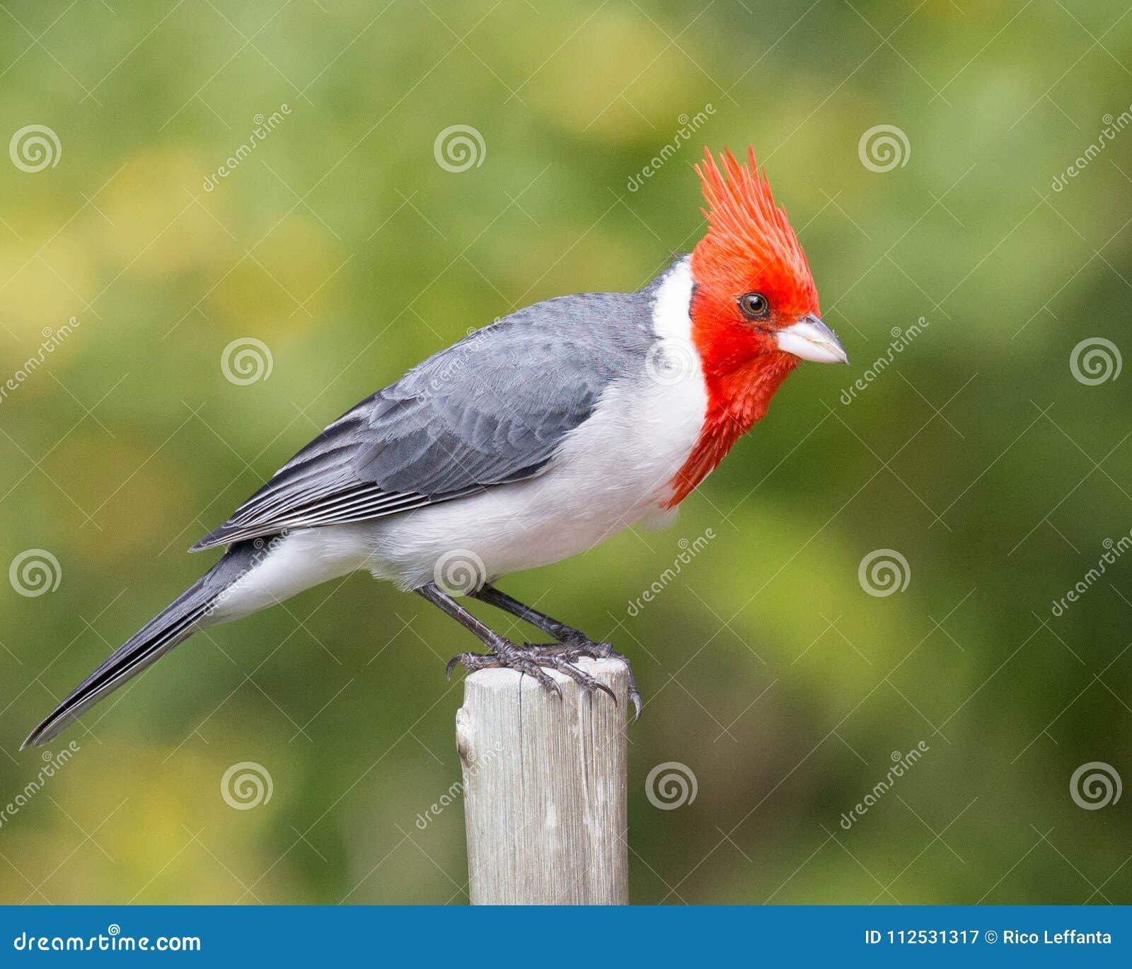 Cardenal de cresta roja