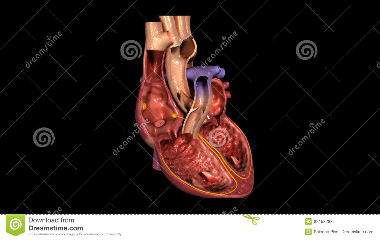 Cardiac Conduction System Stock Video Image Of Human 82153283
