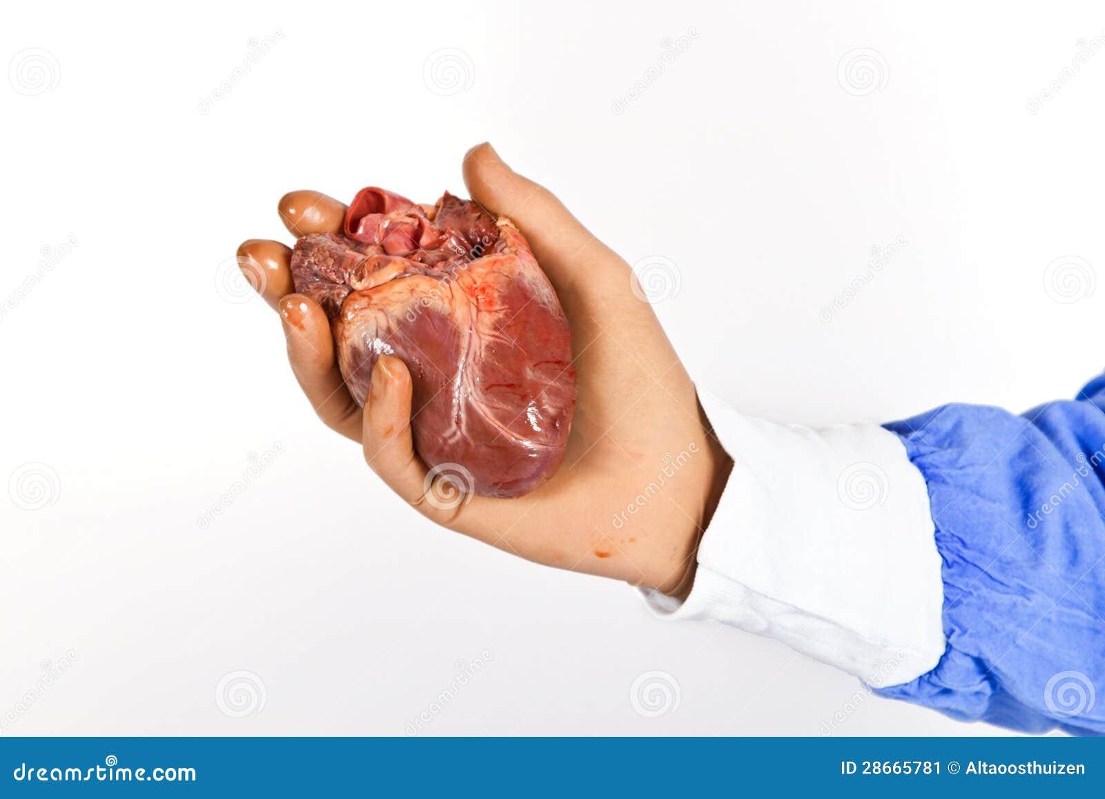 cardiac surgeon holding a heart stock image - image: 28665781, Cephalic Vein