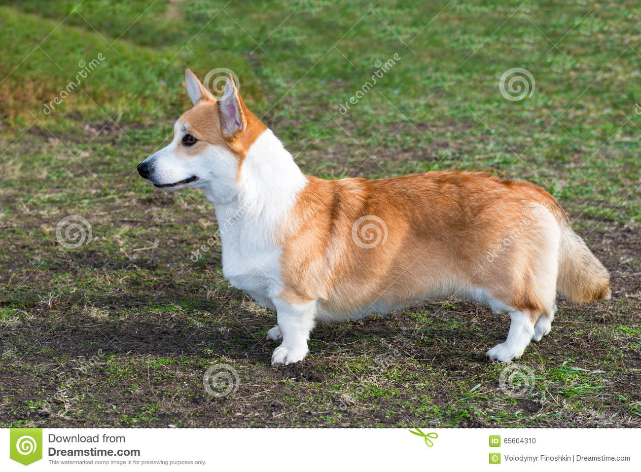 cardigan-welsh-corgi-profile-park-65604310.jpg