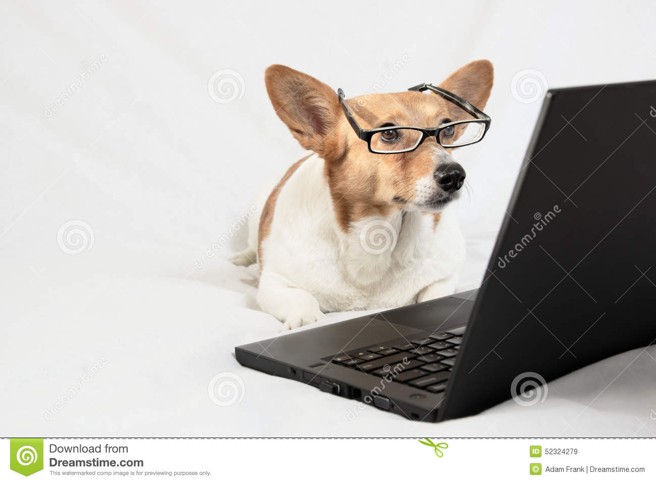 Cardigan Welsh Corgi Wearing Glasses And Looking At Laptop ...