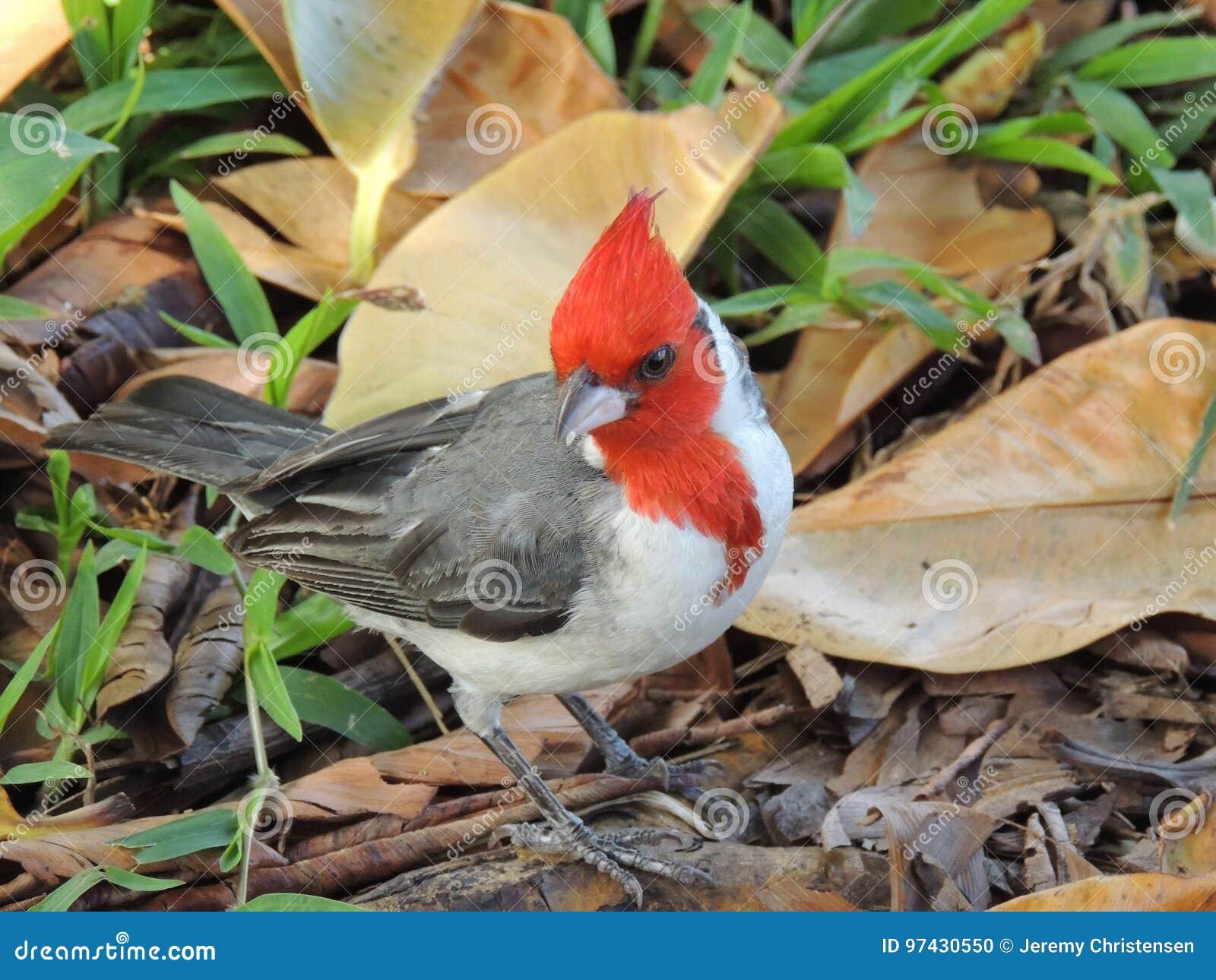Cardinal à crête rouge au sol dans l herbe, macro de détail avec des feuilles