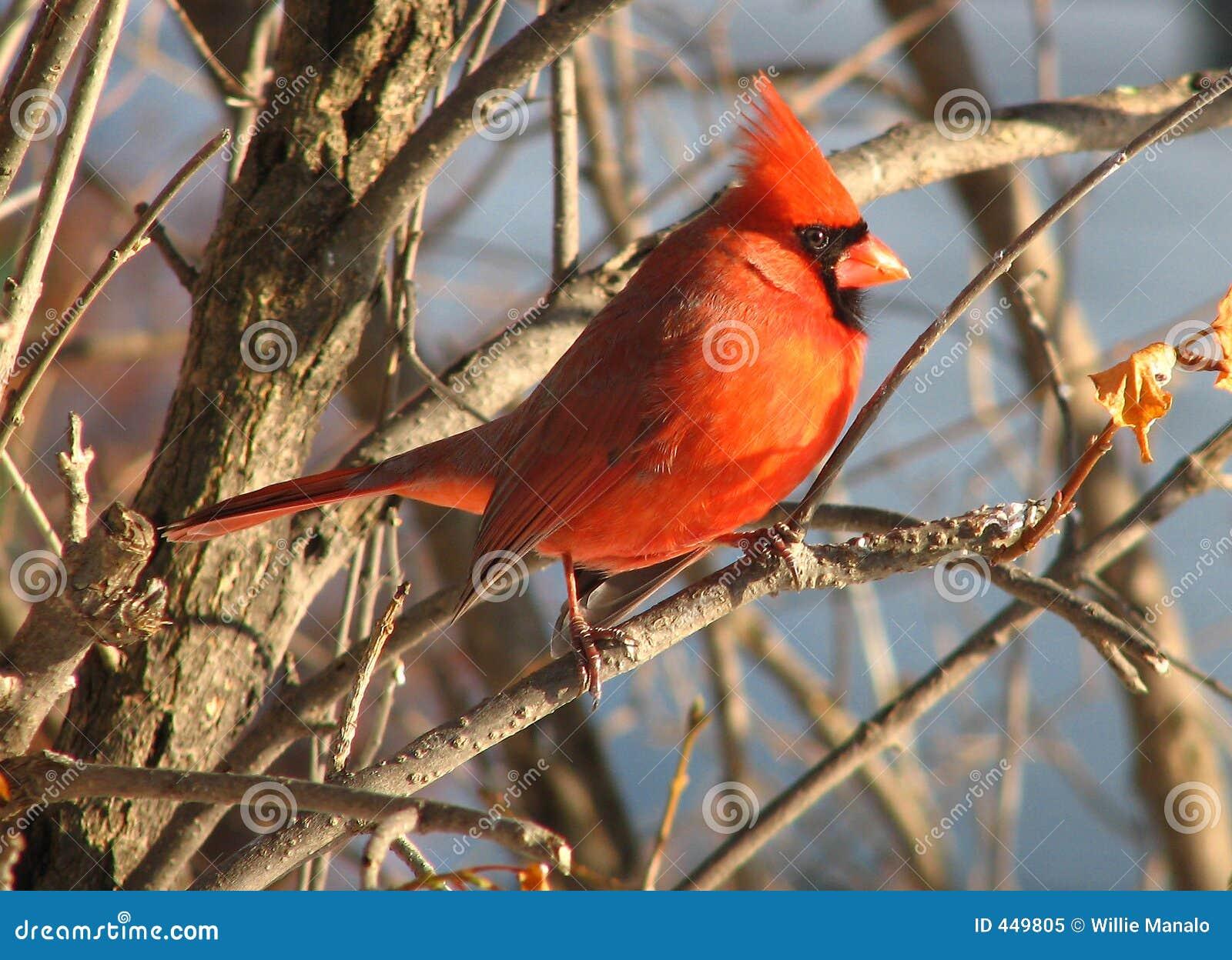 Cardinal-9