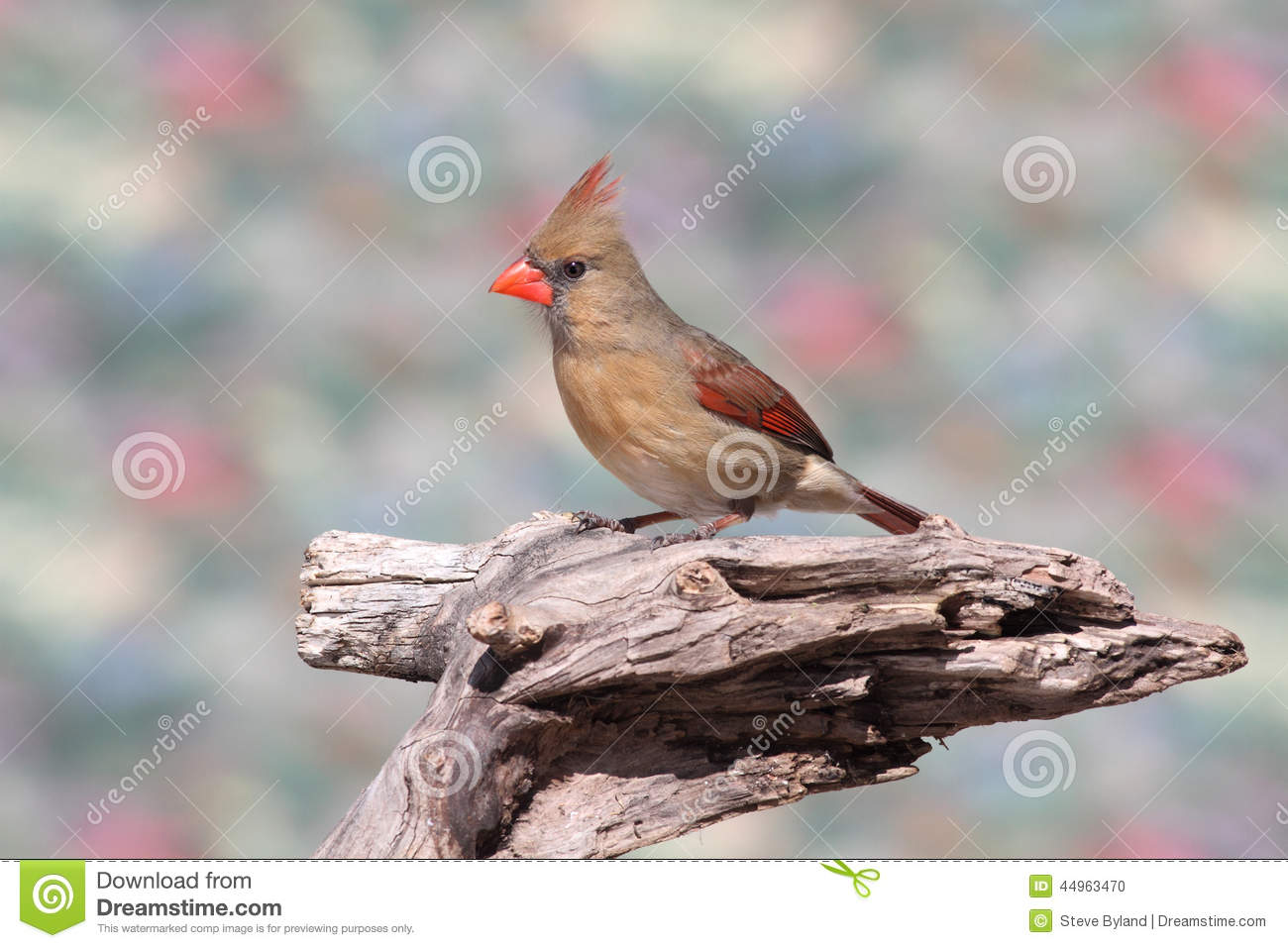 Cardinal On A Branch