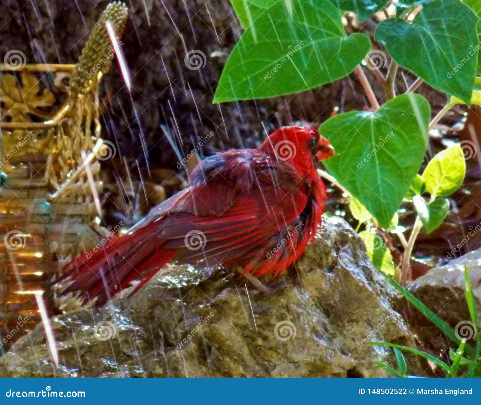Cardinal, el 'Redbird 'goza de la lluvia