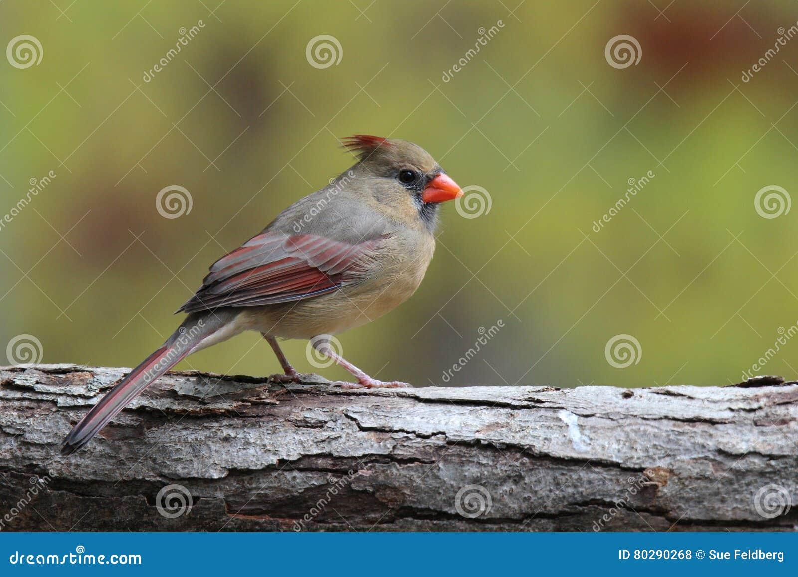 Cardinal féminin dans l automne