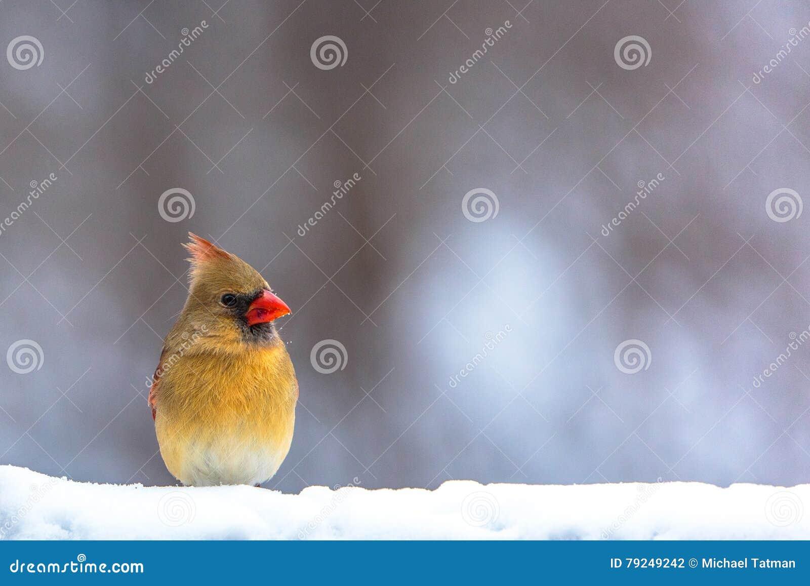 Cardinal féminin dans la neige