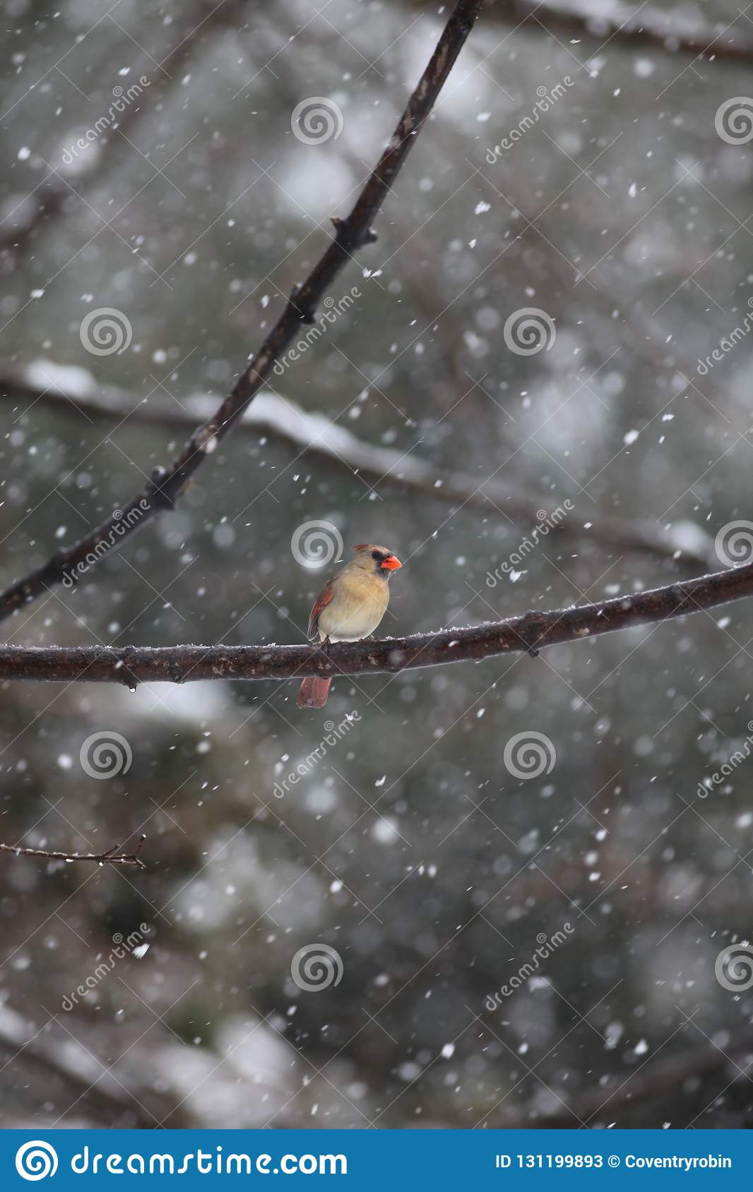 Cardinal féminin dans une tempête de neige
