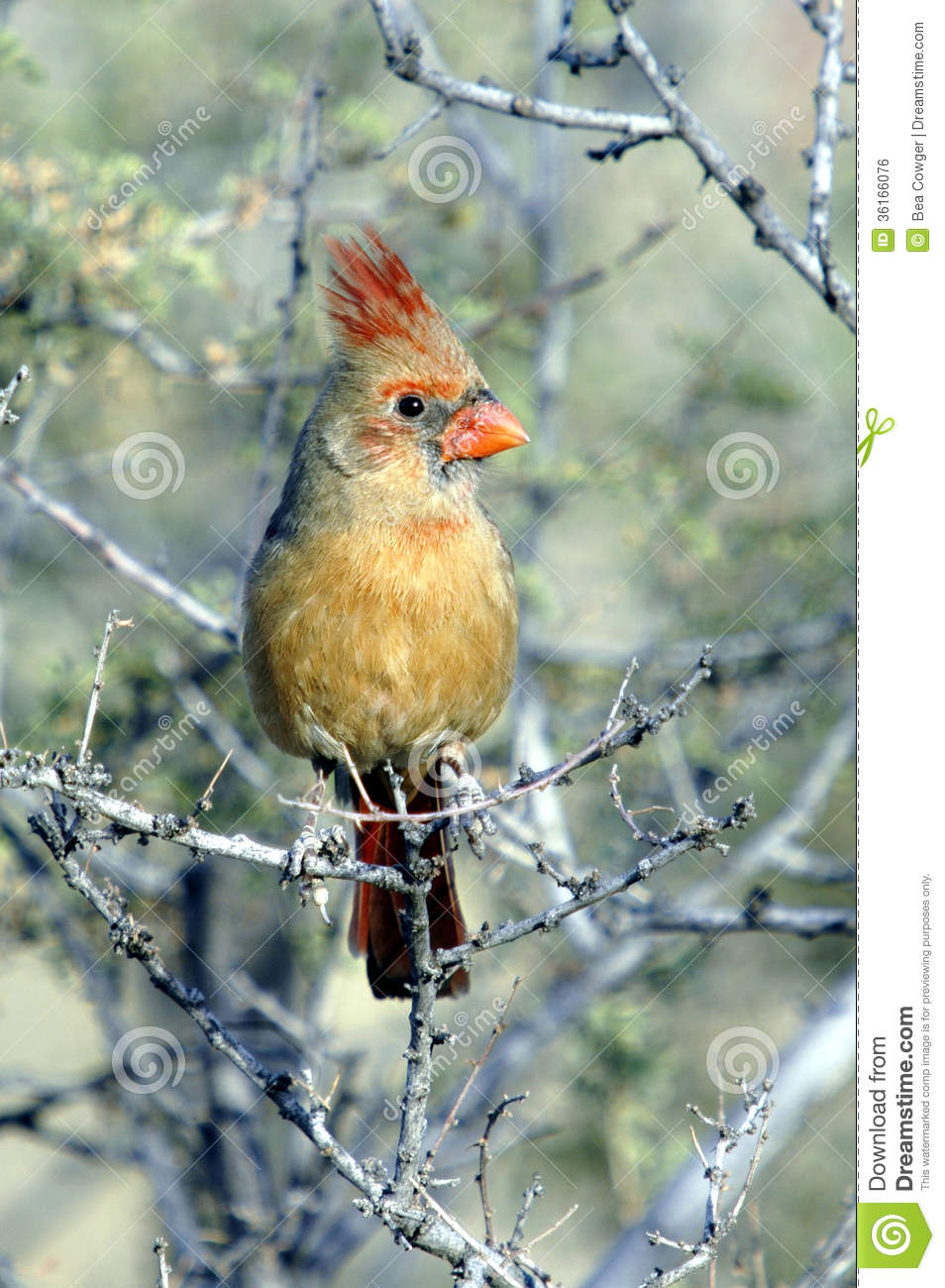 Cardinal red yellowish breast suggest