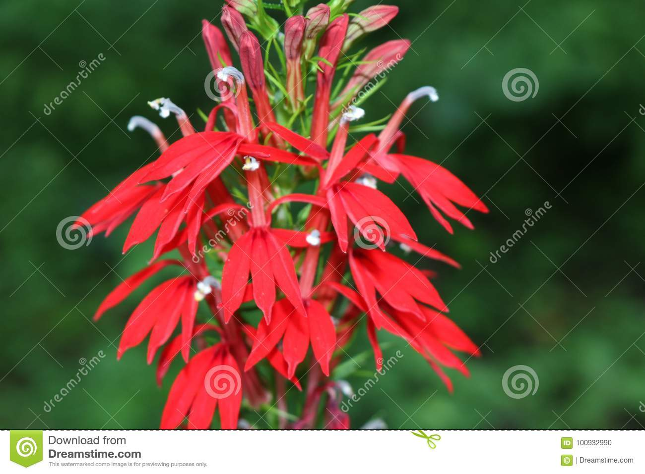 Cardinal Flower Stock Photo Image Of Coloration Petals 100932990