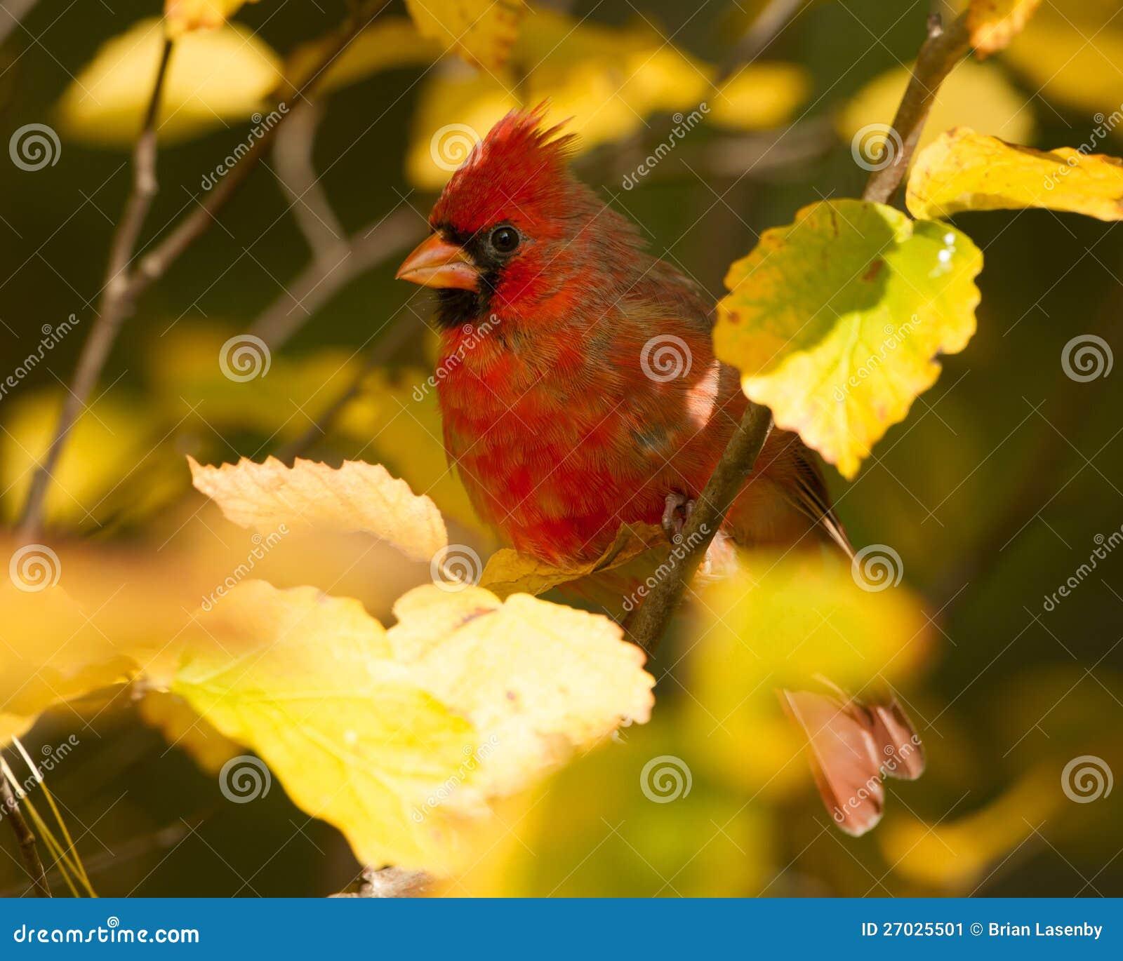 Cardinal nordique en automne