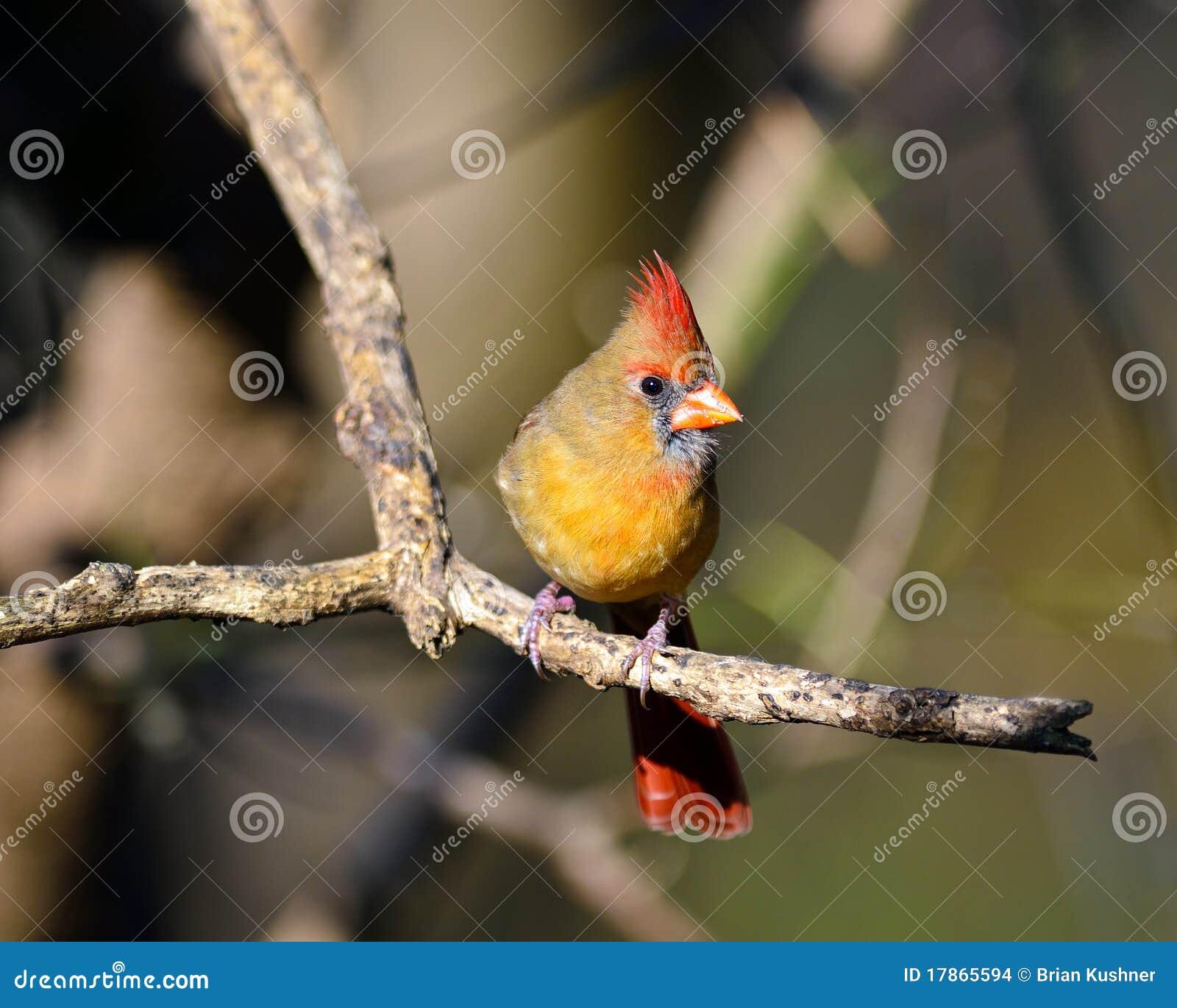 Cardinal nordique féminin