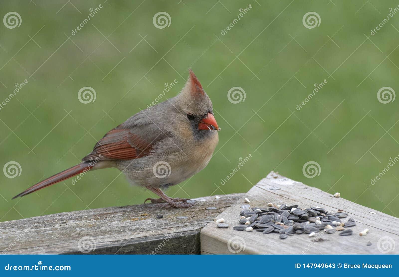 Cardinal nordique f?minin