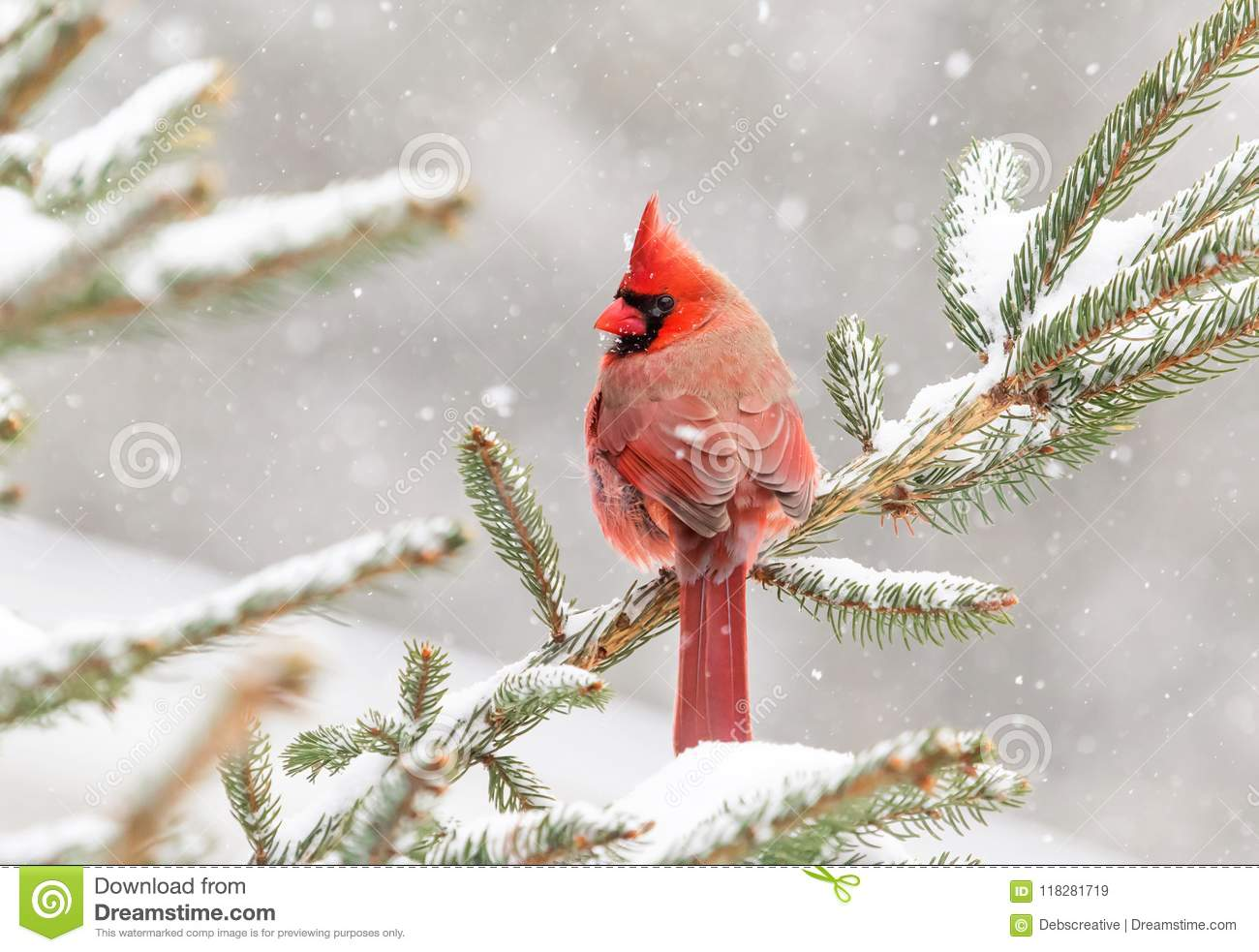 Cardinal perched in a pine tree in winter
