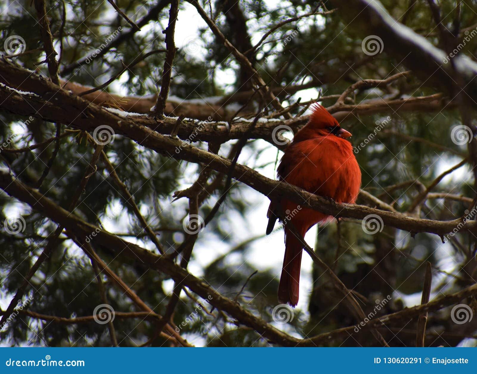 Cardinal rouge en hiver