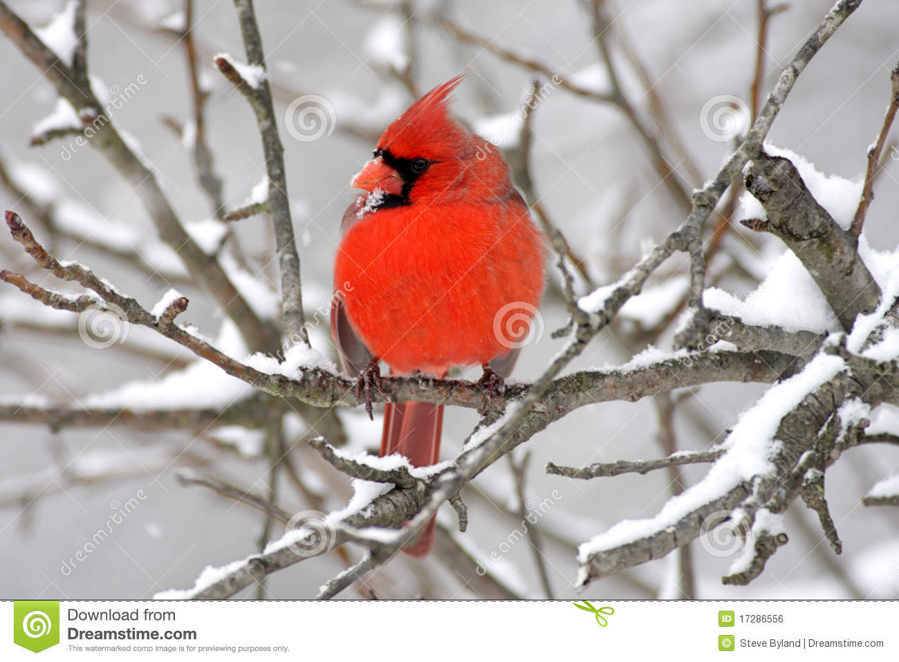 cardinal in snow stock photo image of birds nature 17286556