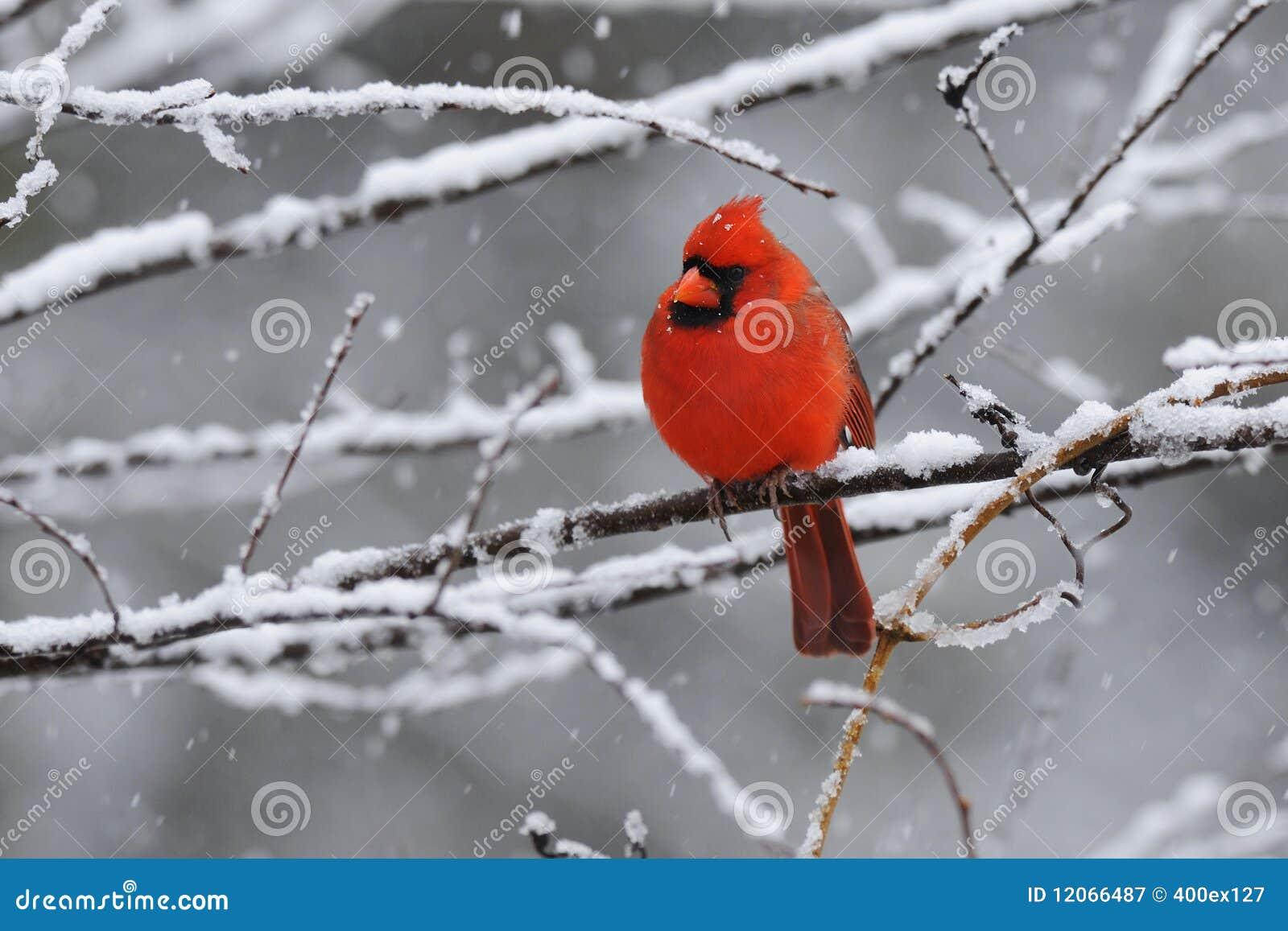 Cardinal Snow 4