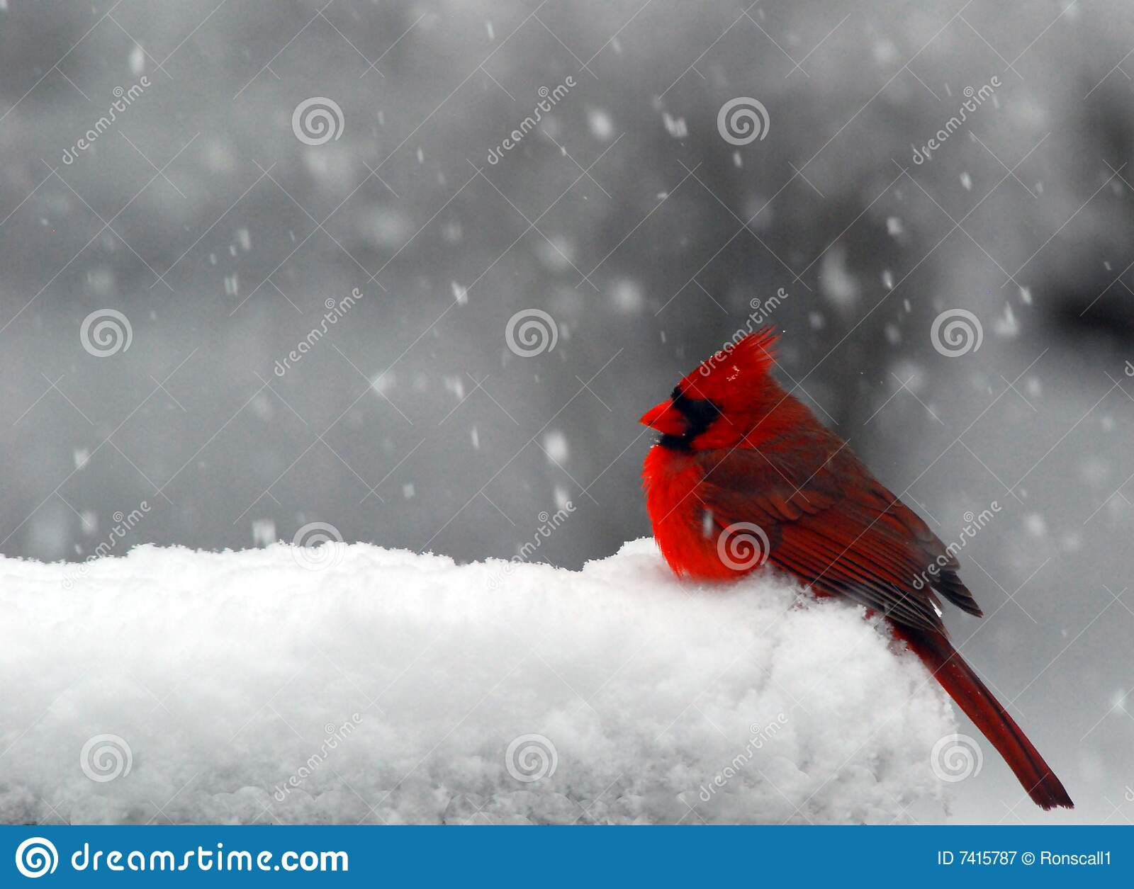 cardinal in snow stock image image of freezing snow 7415787