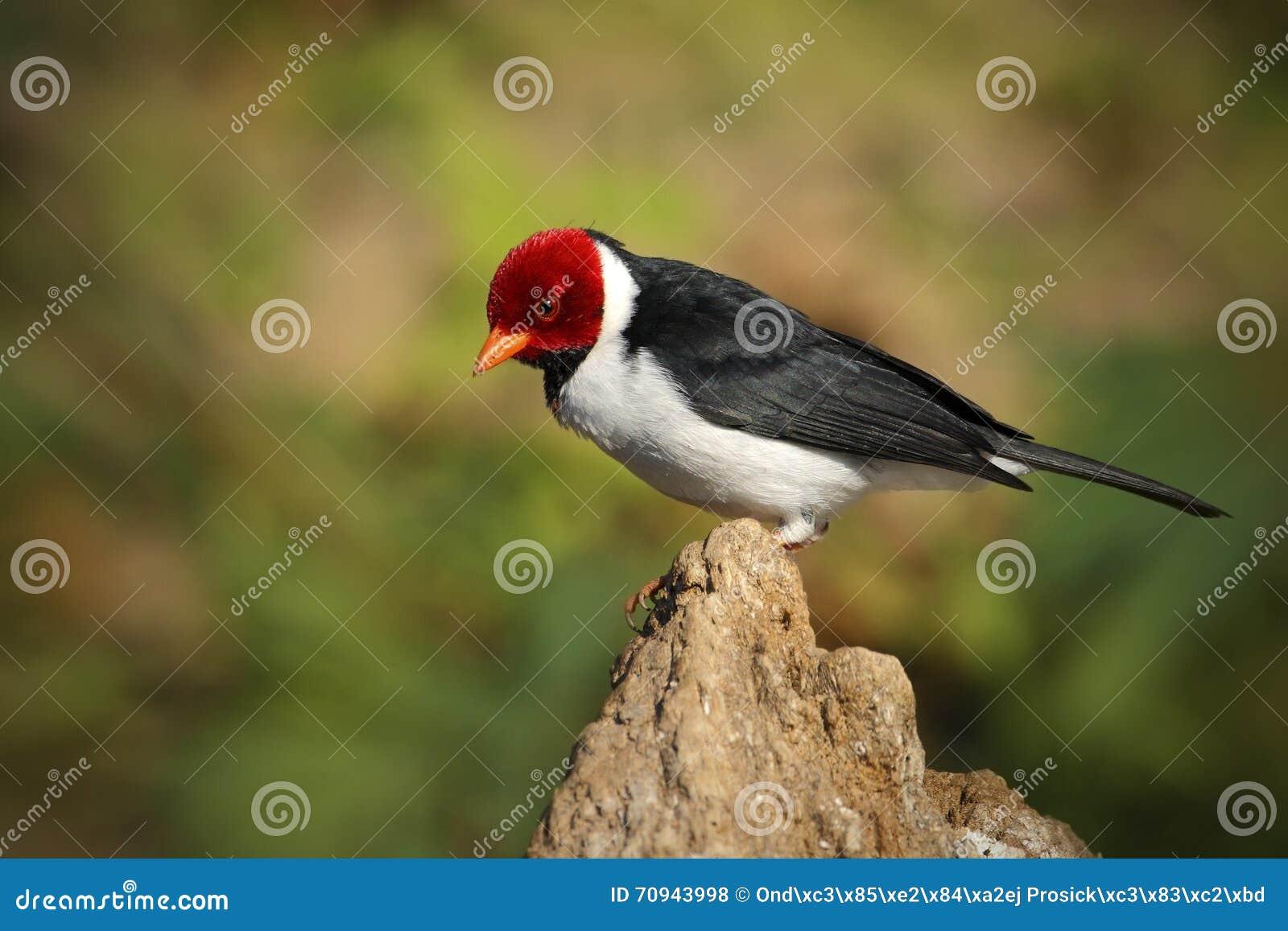 Cardinale dal becco giallo capitata di paroaria uccello for Arredamento bianco nero e rosso