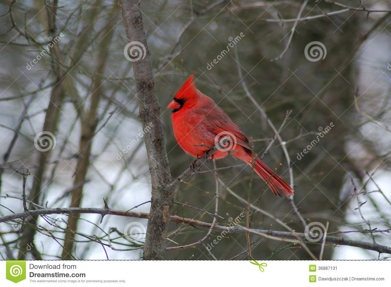 Download Cardinale Nordico (cardinalis Di Cardinalis) Immagine Stock - Immagine di cute, biologia: 36887131