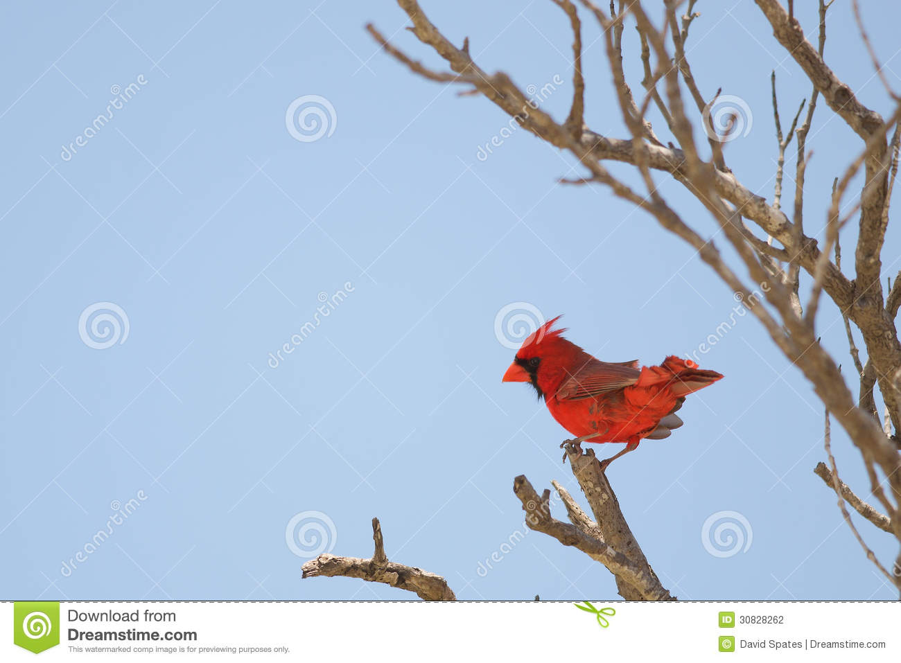 Cardinale Perched del Norther