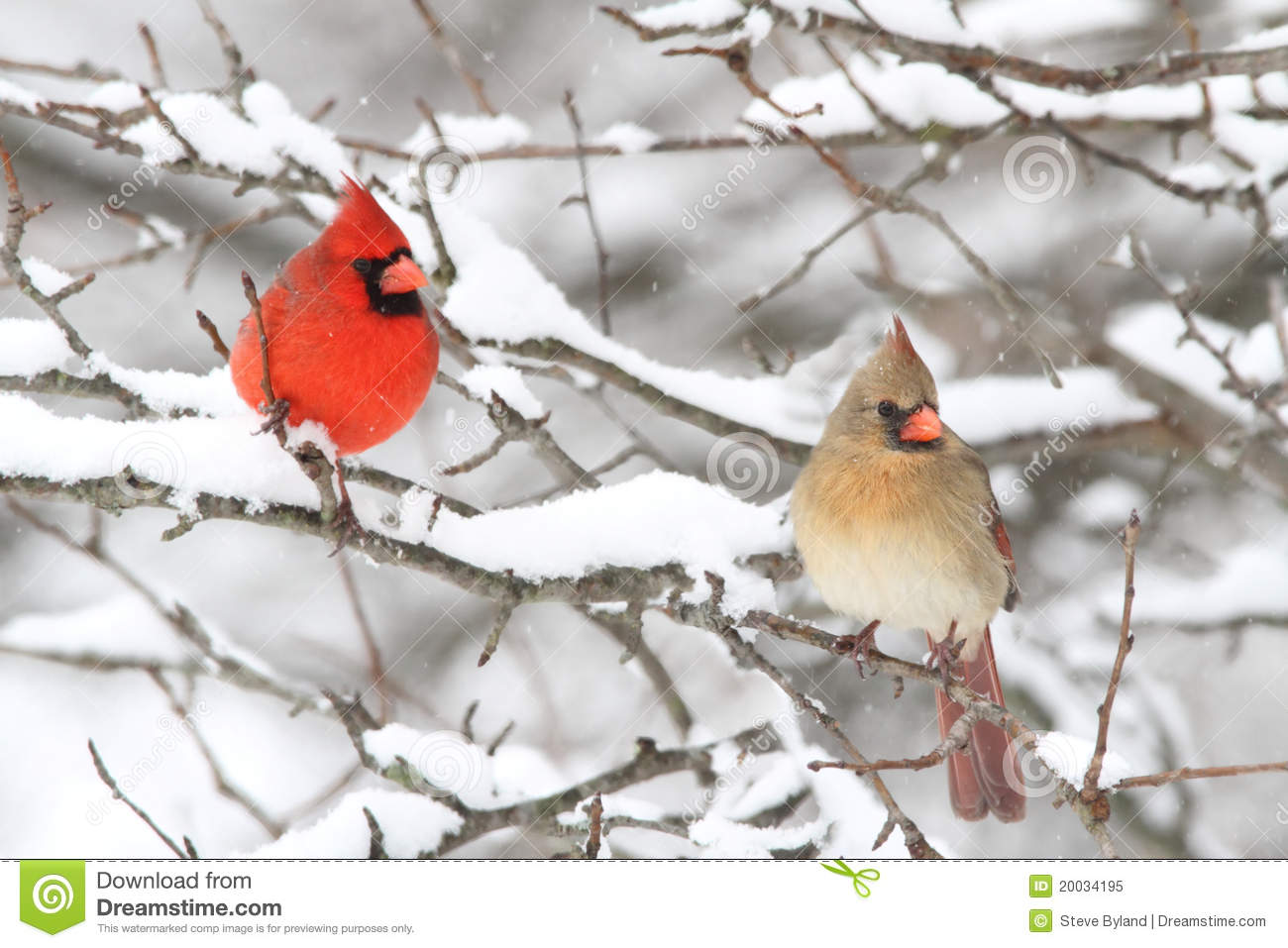 cardinals in snow stock image image of branch nature 20034195
