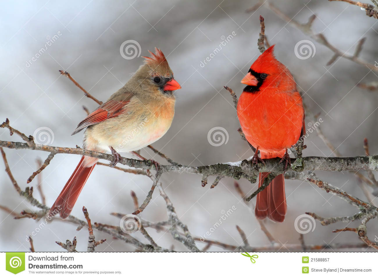 cardinals in snow stock image image of branch avian 21588857