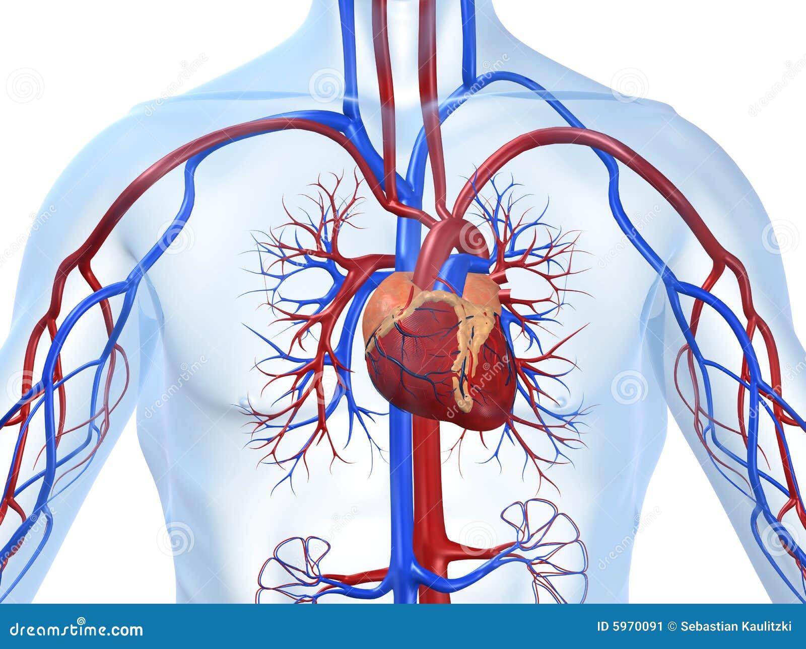 Cardiovascular system stock illustration. Illustration of design ...