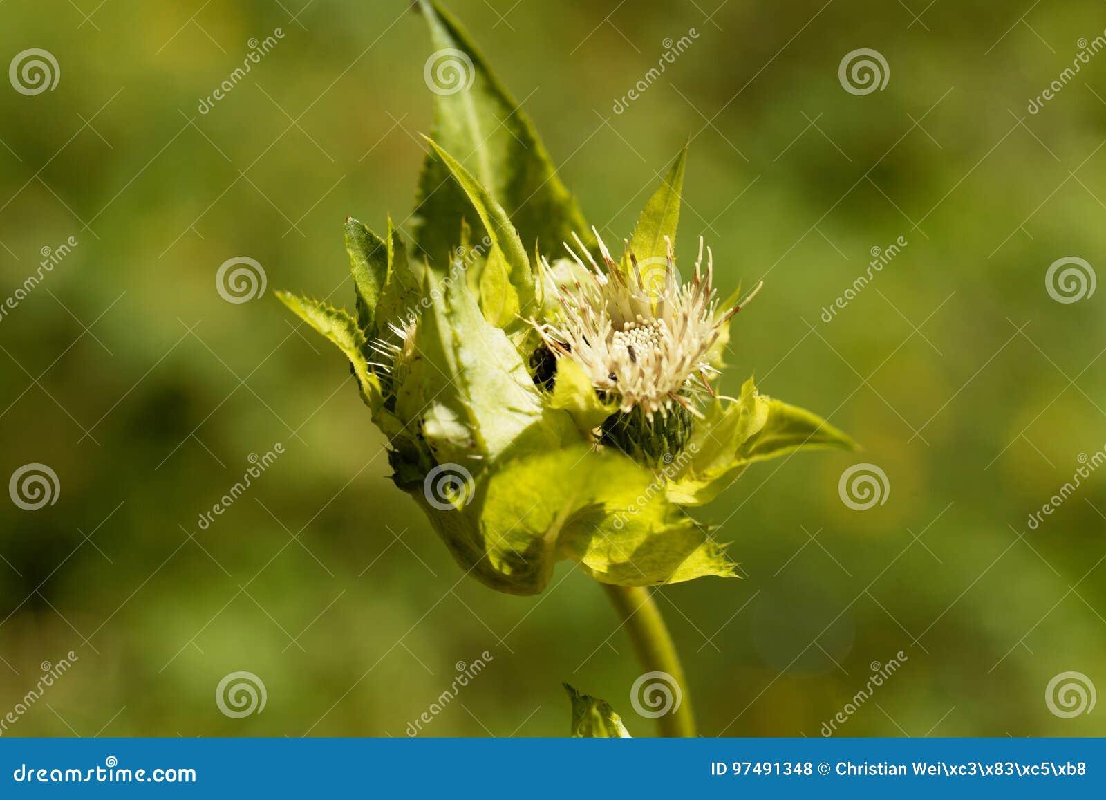 Cardo selvatico del cavolo, oleraceum del Cirsium