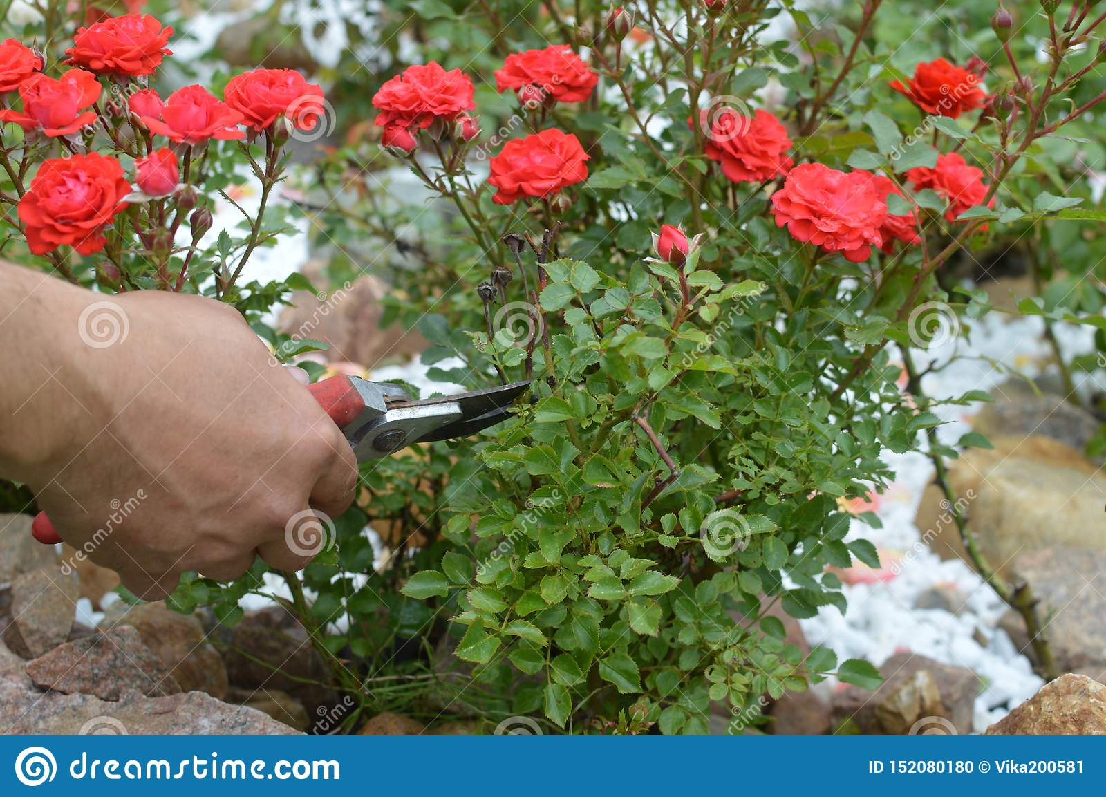 care of garden red roses