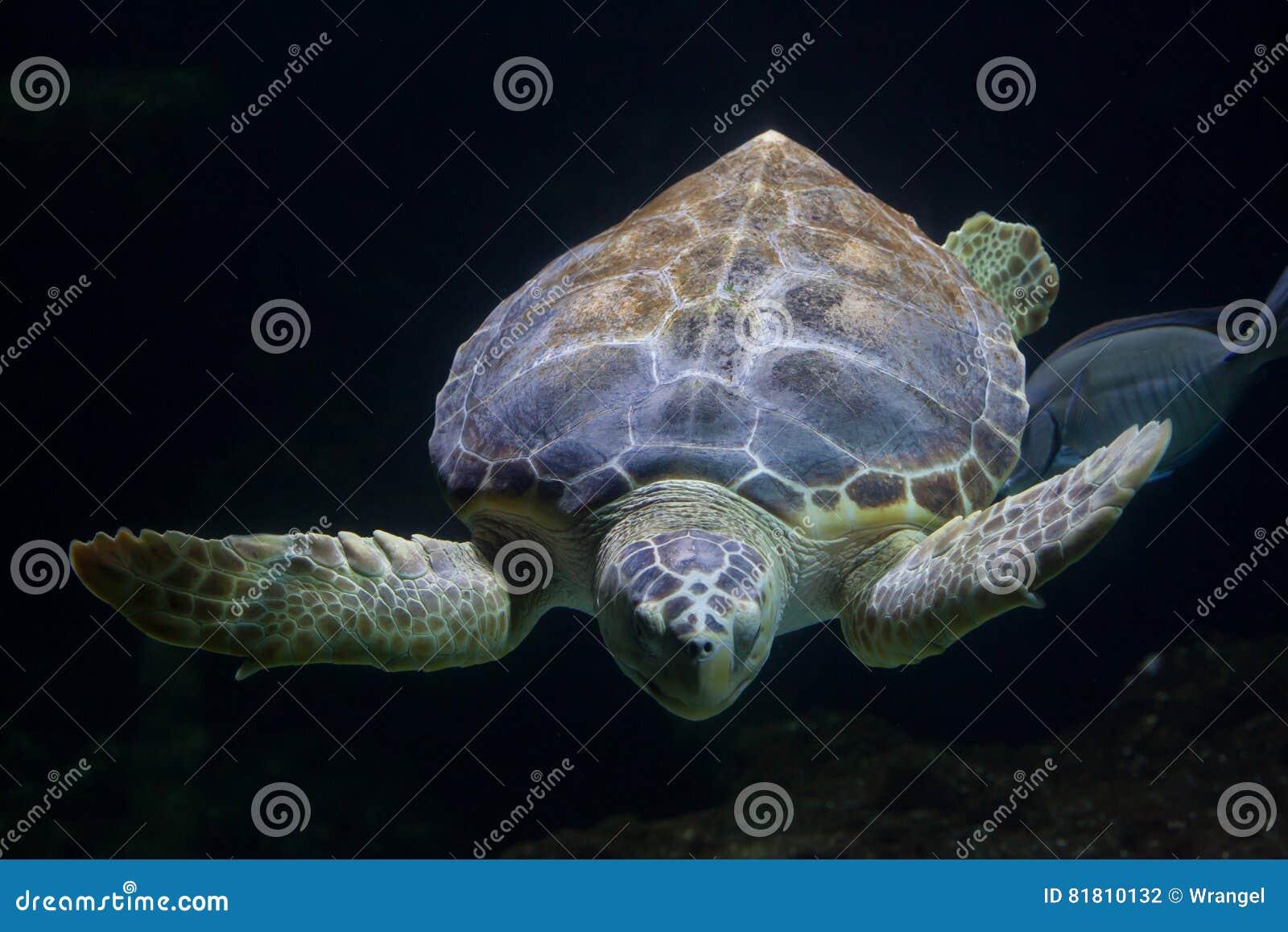 Caretta Caretta морской черепахи морской черепахи