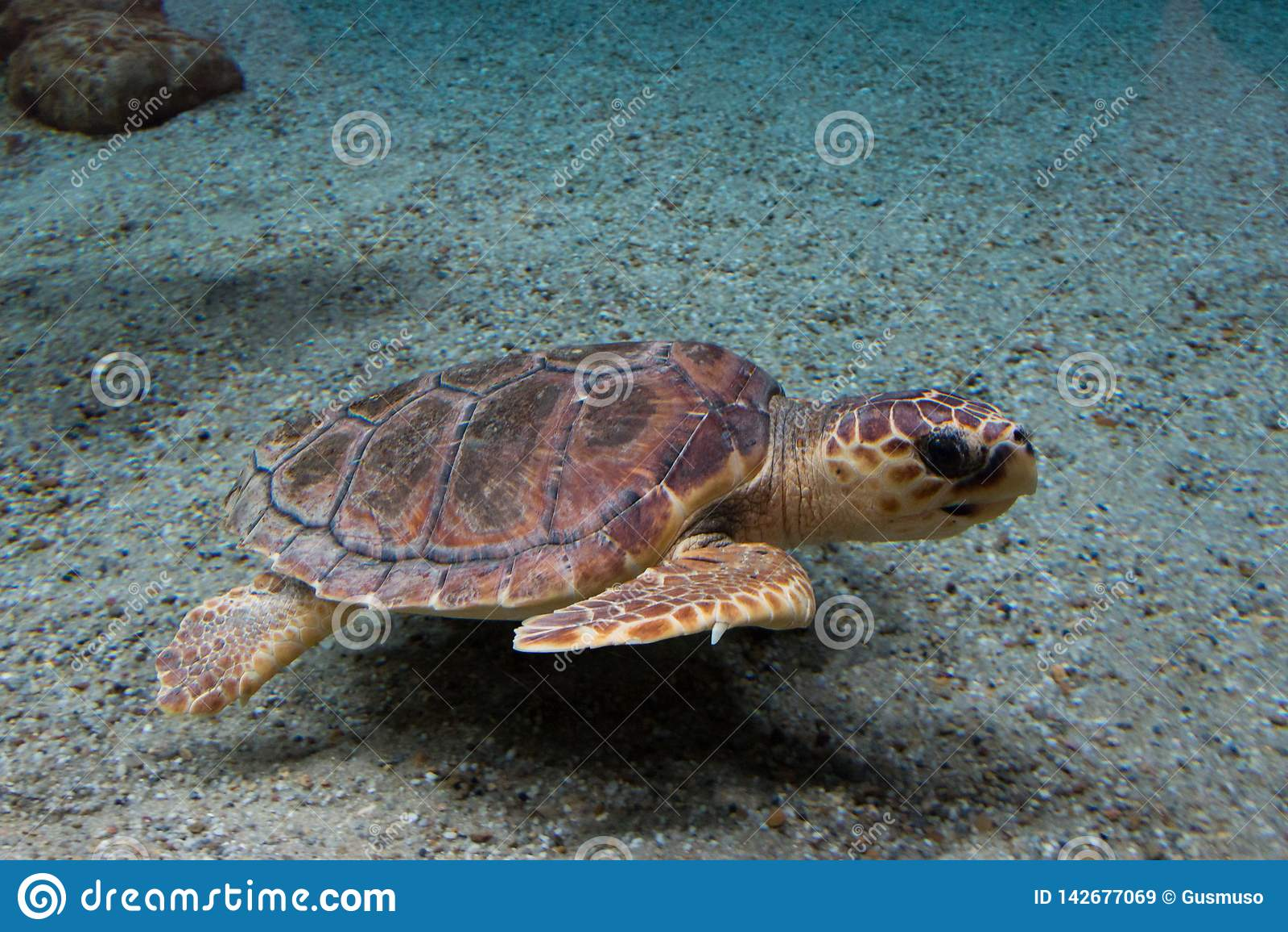 Caretta del Caretta de la tortuga de mar del necio, también conocido como el necio Animal salvaje de la vida