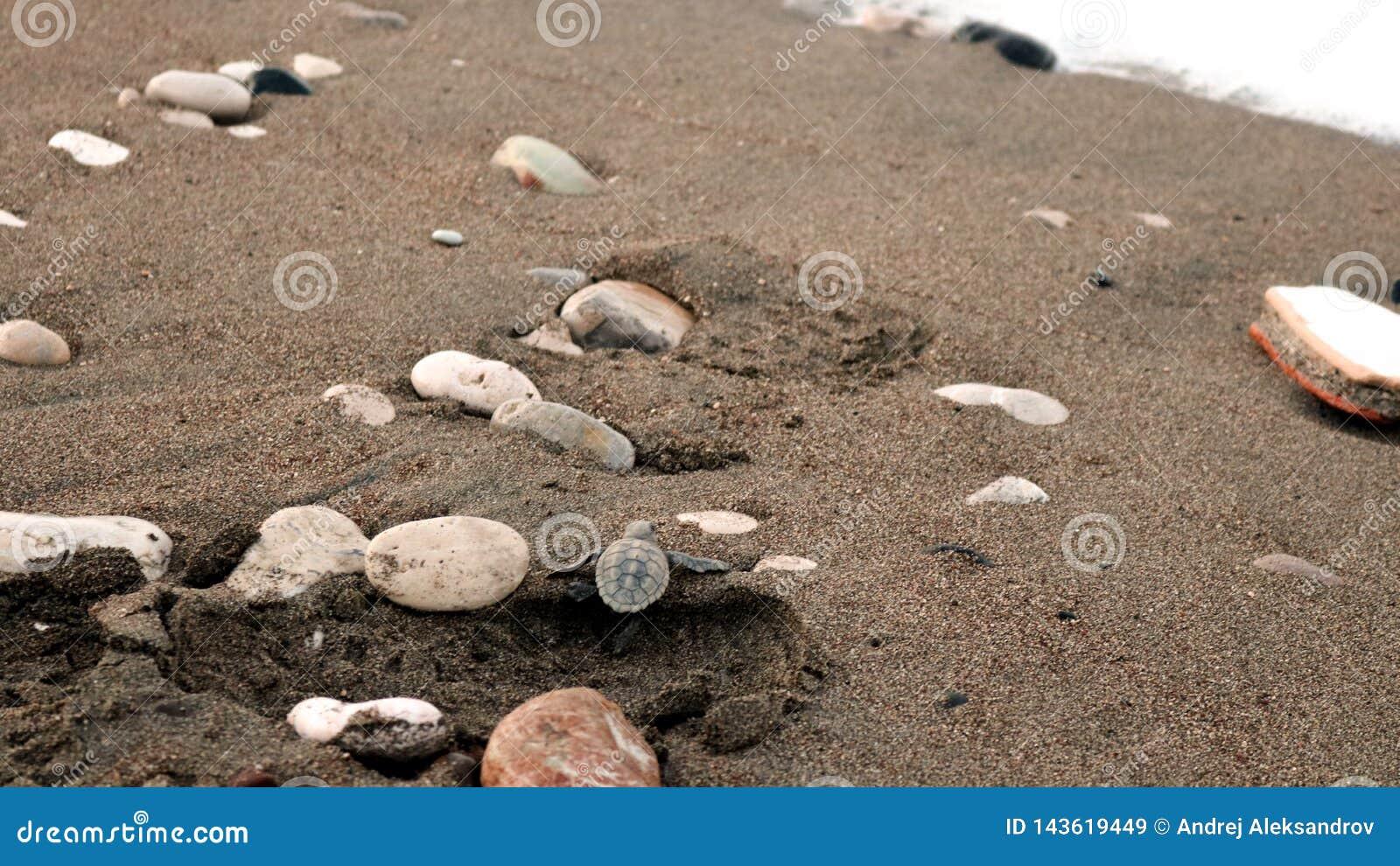 Caretta Caretta Hatchlingsschildkröte, die in Richtung zum Meer hetzt