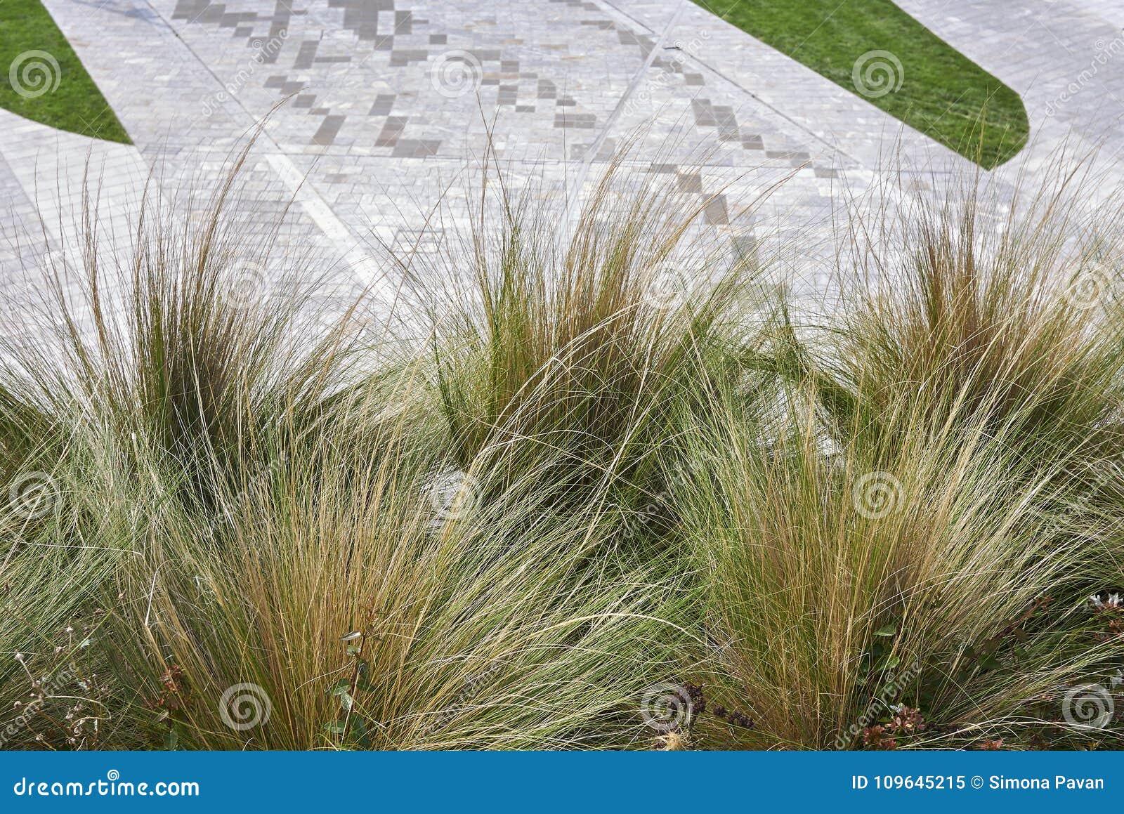 Carex dekorativt gräs