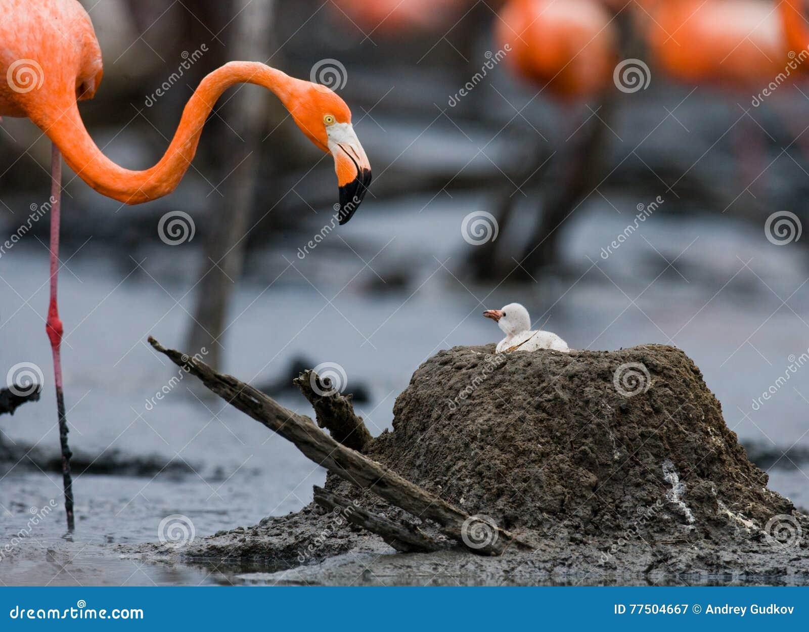 Flamingo Nests Caribbean Flamingo On ...