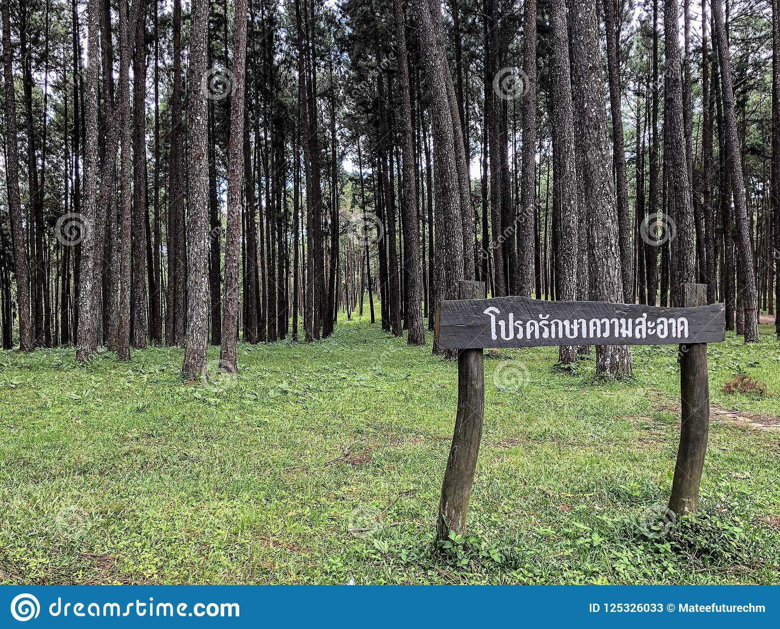 Caribbean Pine In Tonson Breeding Area, Chiang Mai