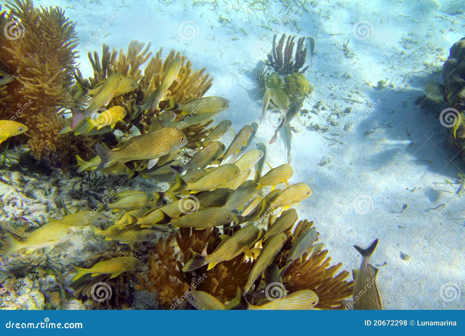 Caribbean reef grunt fish school mayan riviera royalty for Caribbean reef fish
